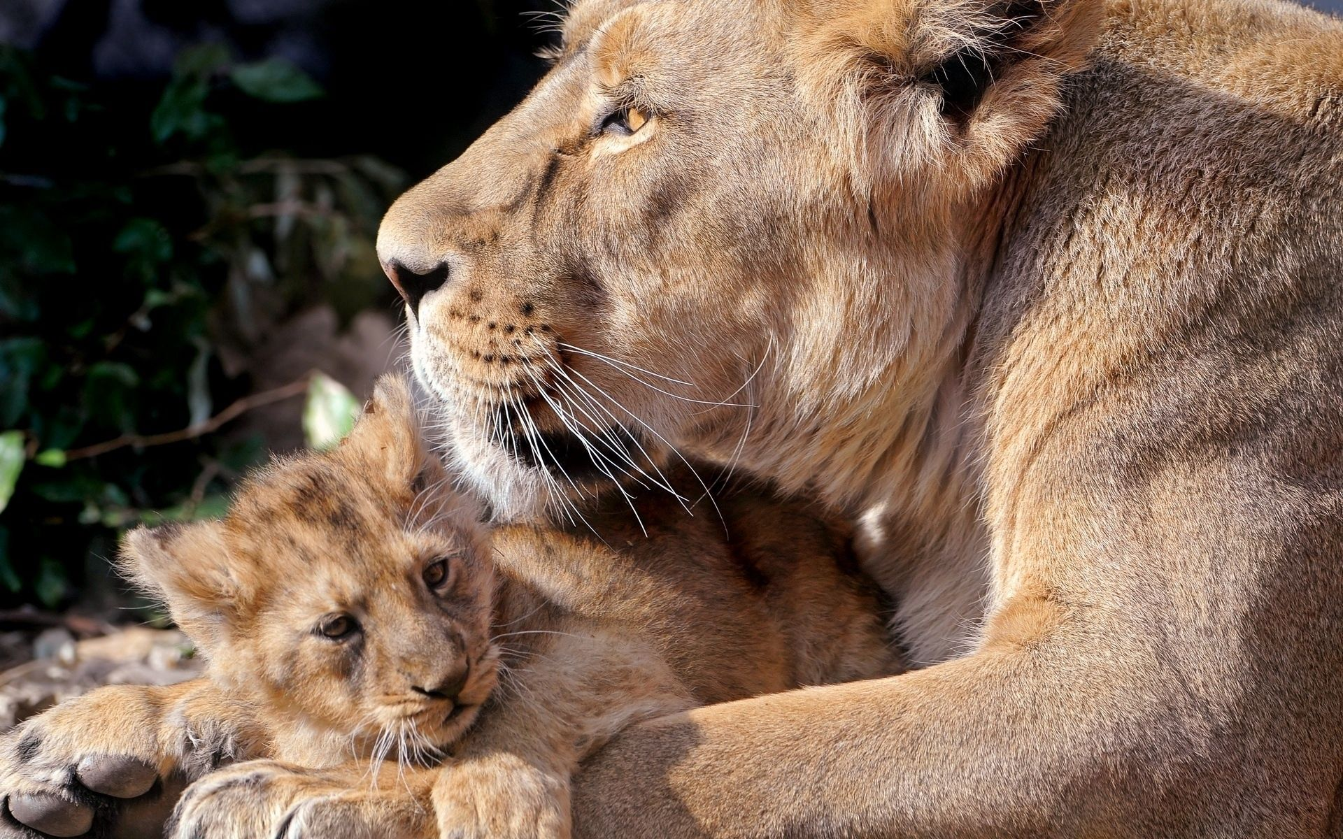 84004 download wallpaper Animals, Young, Joey, Care, Lions screensavers and pictures for free