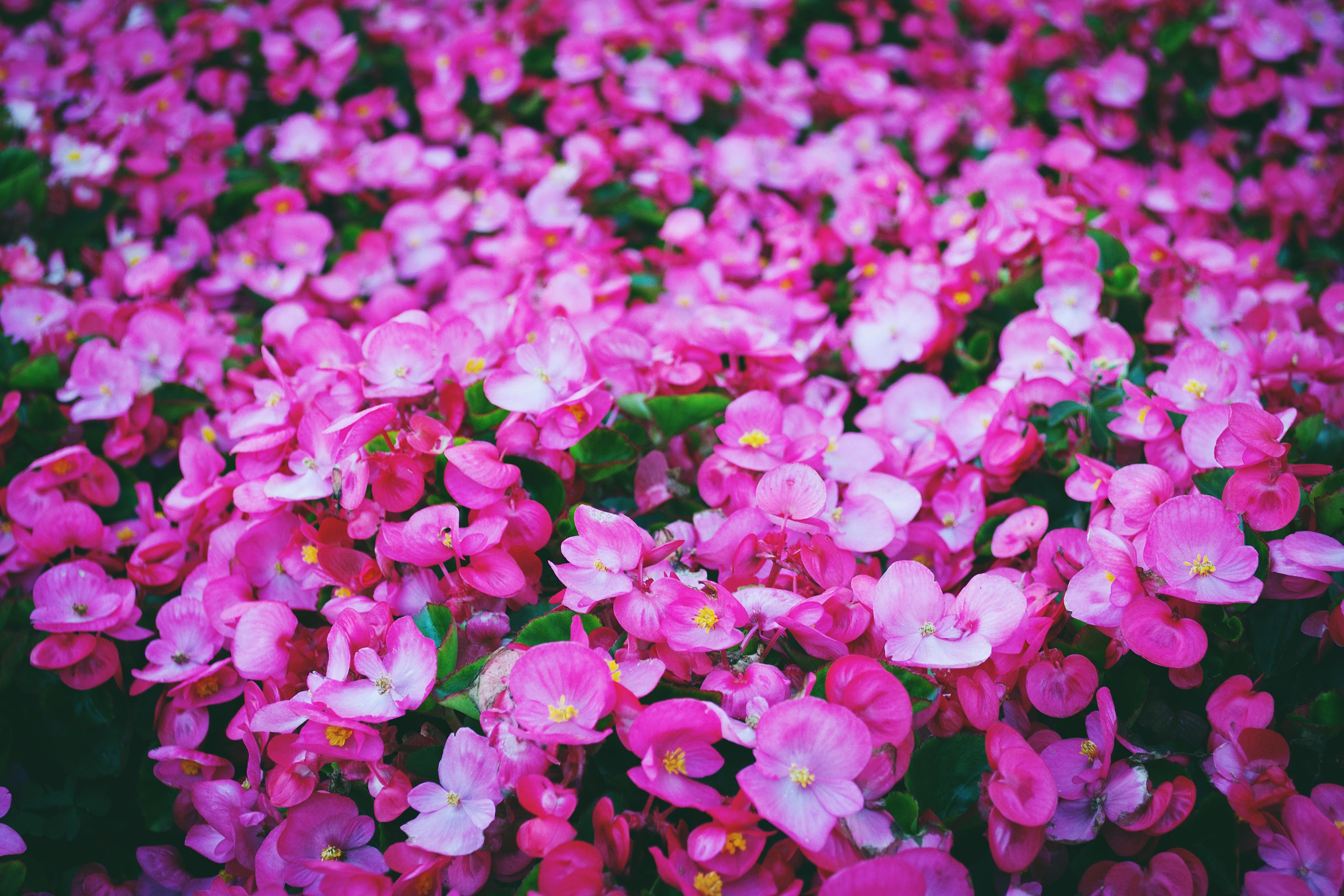 80766 скачать обои Поляна, Цветы, Яркий, Розовый - заставки и картинки бесплатно