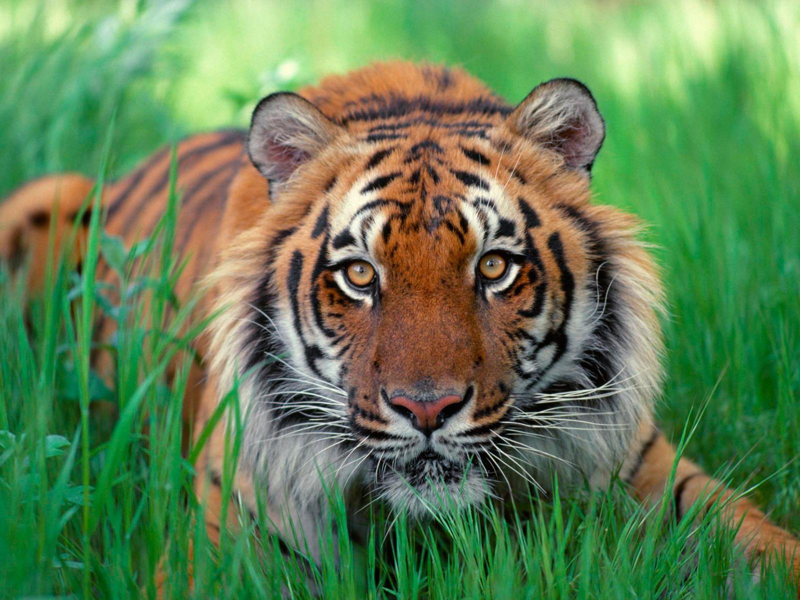 7123 скачать обои Тигры, Животные - заставки и картинки бесплатно