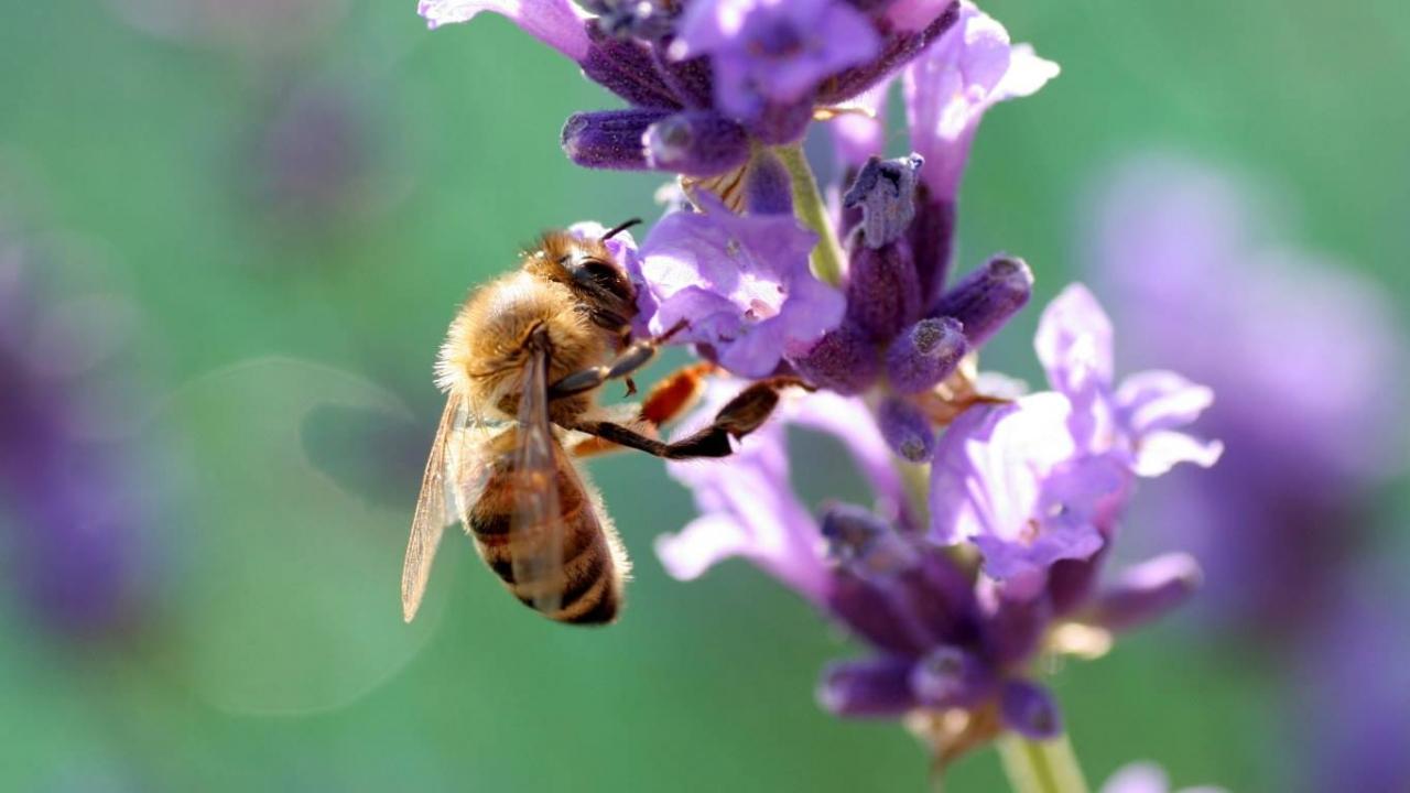 37487 Hintergrundbild herunterladen Bienen, Insekten - Bildschirmschoner und Bilder kostenlos