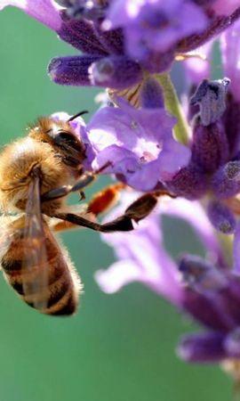 37487 télécharger le fond d'écran Insectes, Abeilles - économiseurs d'écran et images gratuitement