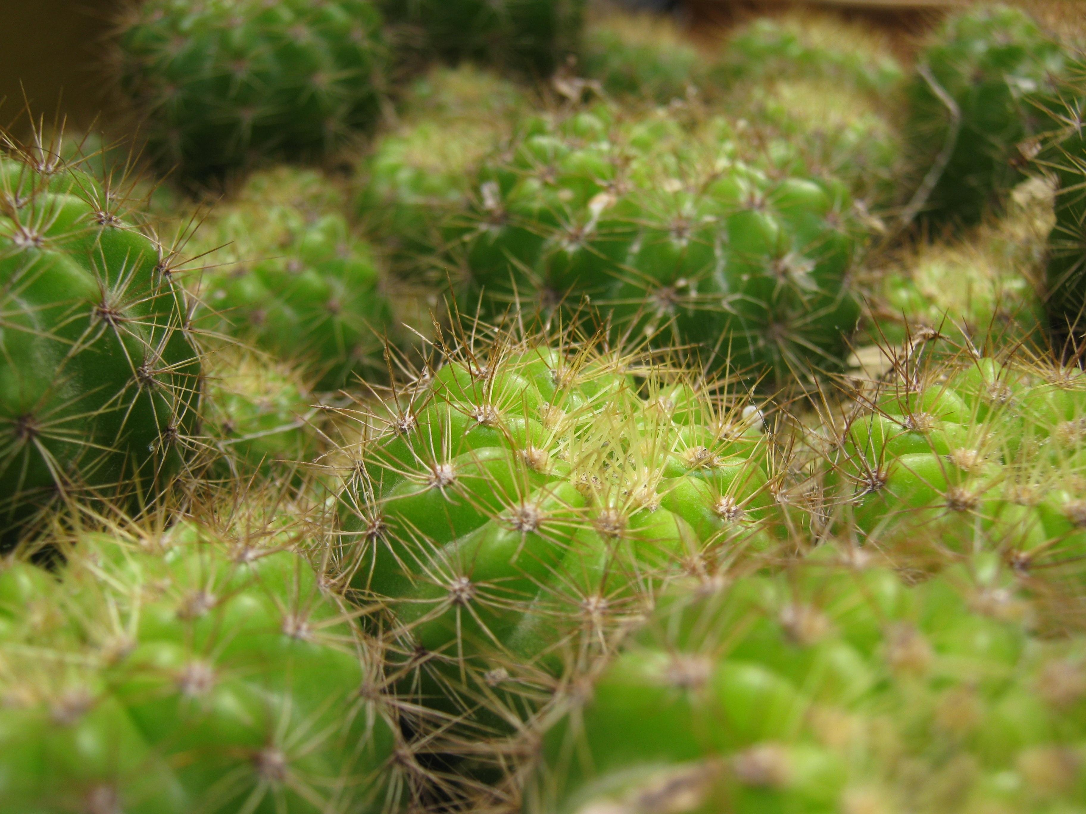 112327 descargar fondo de pantalla Macro, Cactus, Cacto, Espinas, Planta De Interior, Houseplant, De Cerca, Primer Plano: protectores de pantalla e imágenes gratis