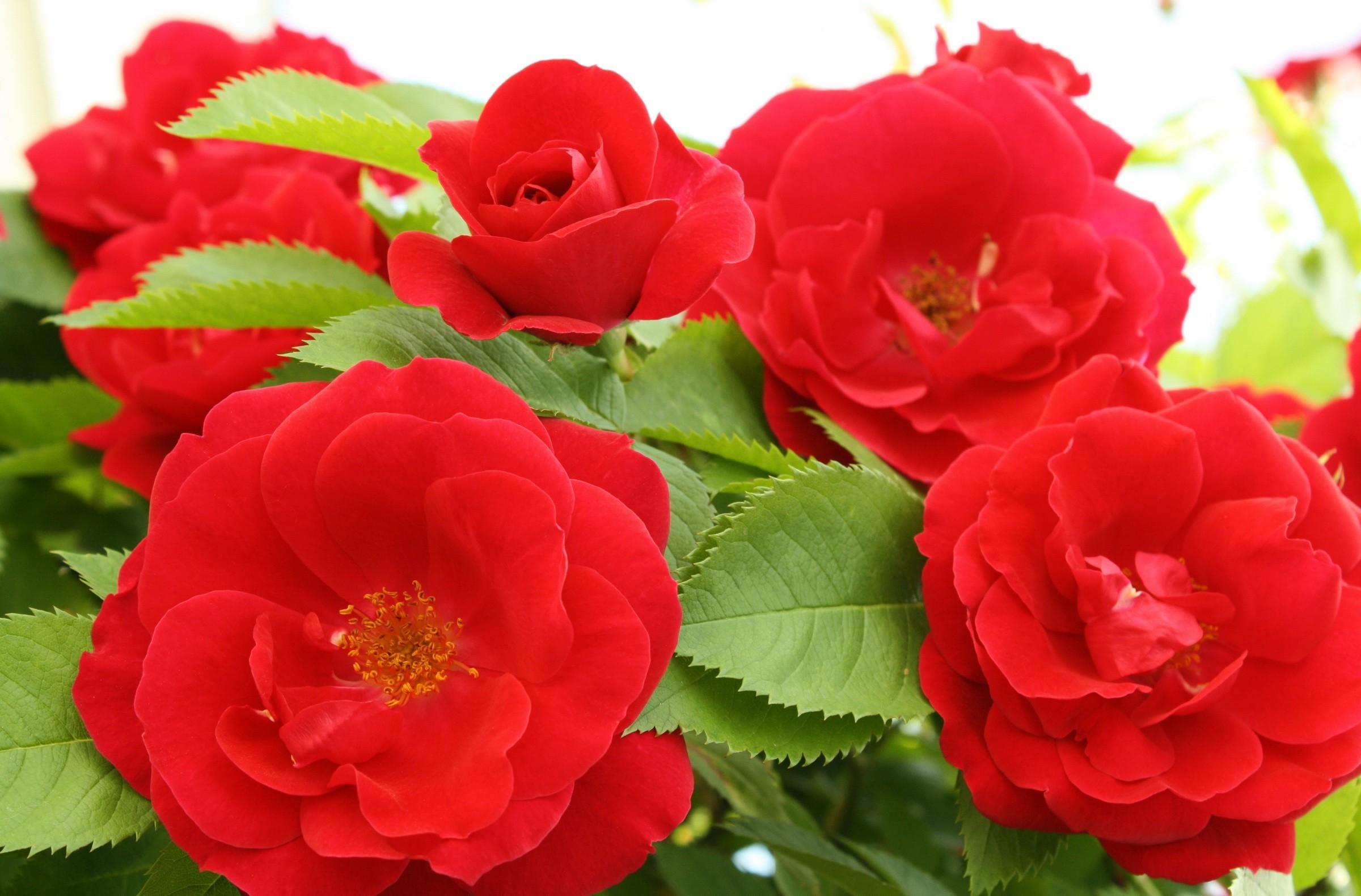 89066 скачать обои Цветы, Распущенные, Листья, Крупный План, Розы - заставки и картинки бесплатно
