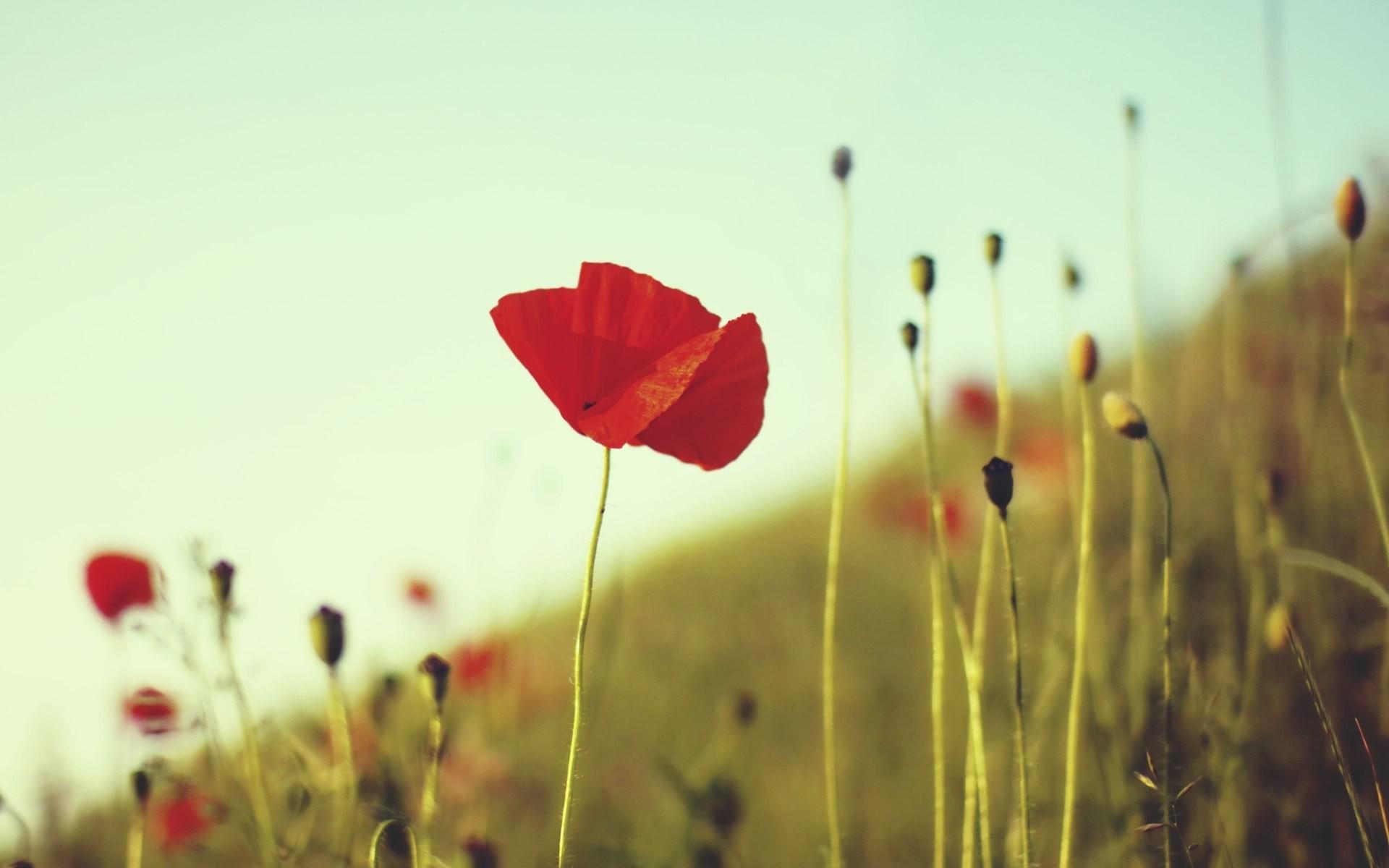 47752 скачать обои Растения, Цветы, Маки - заставки и картинки бесплатно