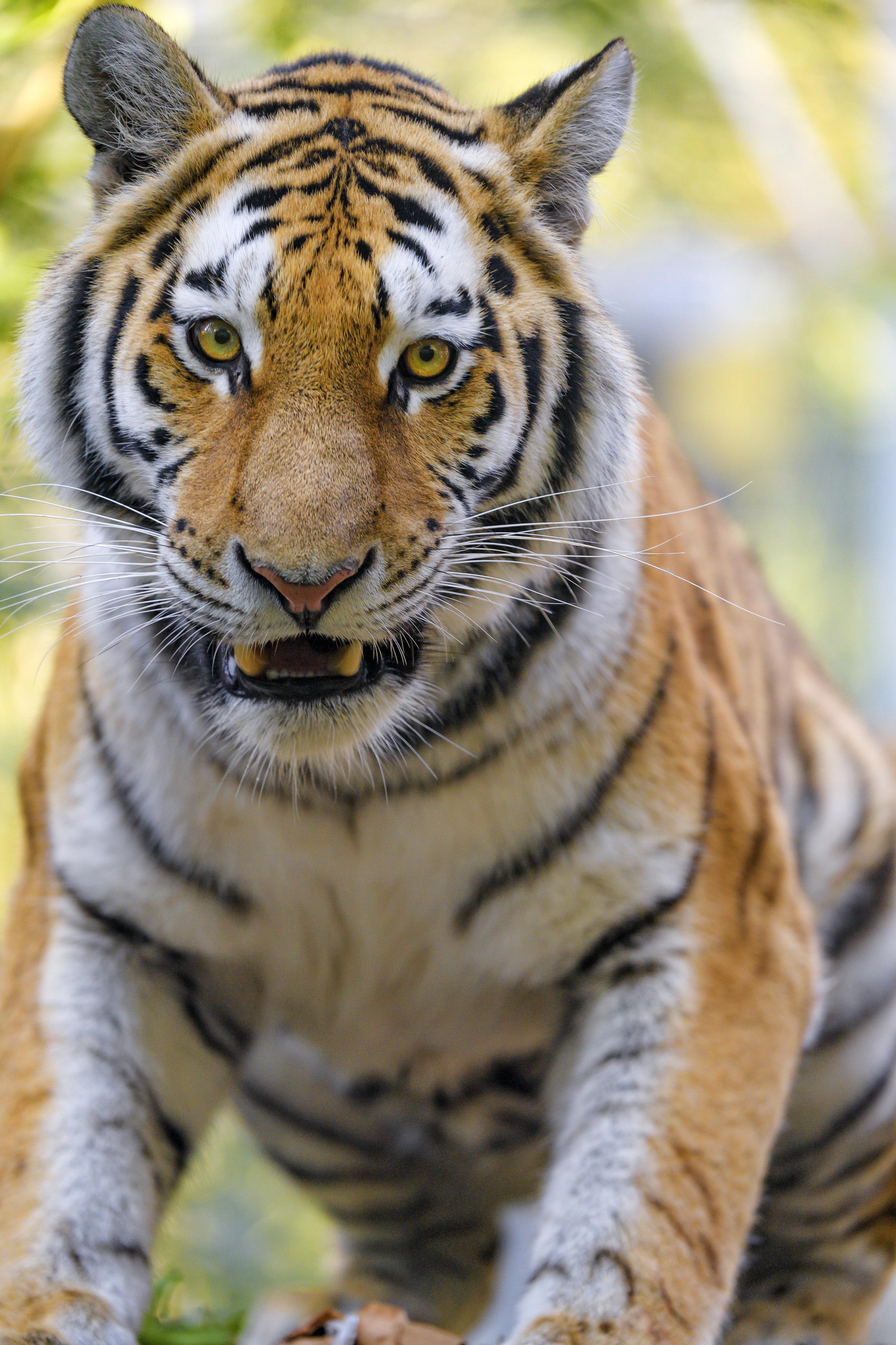 149903壁紙のダウンロード動物, 大きな猫, ビッグキャット, 銃口, 阪神タイガース-スクリーンセーバーと写真を無料で