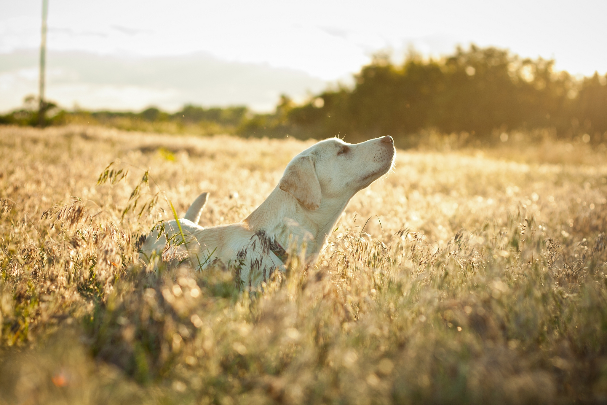 111134 download wallpaper Animals, Dog, Labrador, Muzzle, Grass, Stroll, Sunlight screensavers and pictures for free