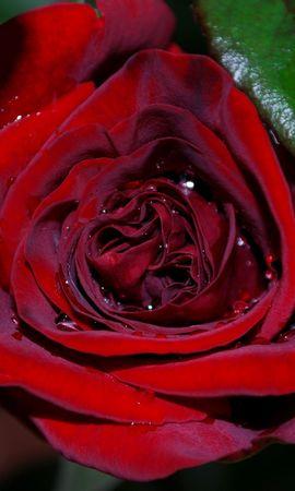 25694 скачать обои Растения, Цветы, Розы - заставки и картинки бесплатно