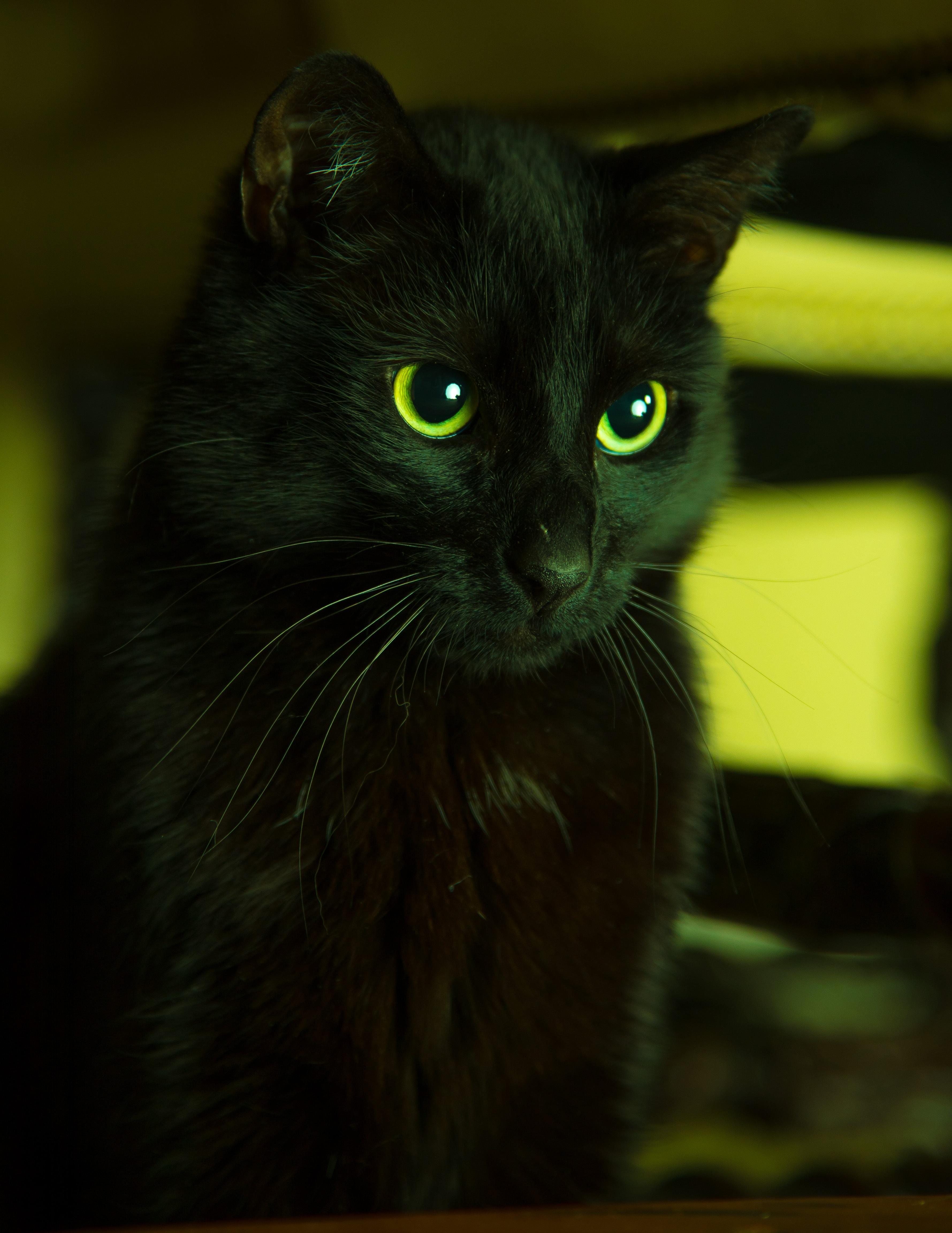 89184 Lade kostenlos Schwarz Hintergrundbilder für dein Handy herunter, Tiere, Der Kater, Katze, Augen, Das Schwarze, Sieht Aus, Sieht Schwarz Bilder und Bildschirmschoner für dein Handy