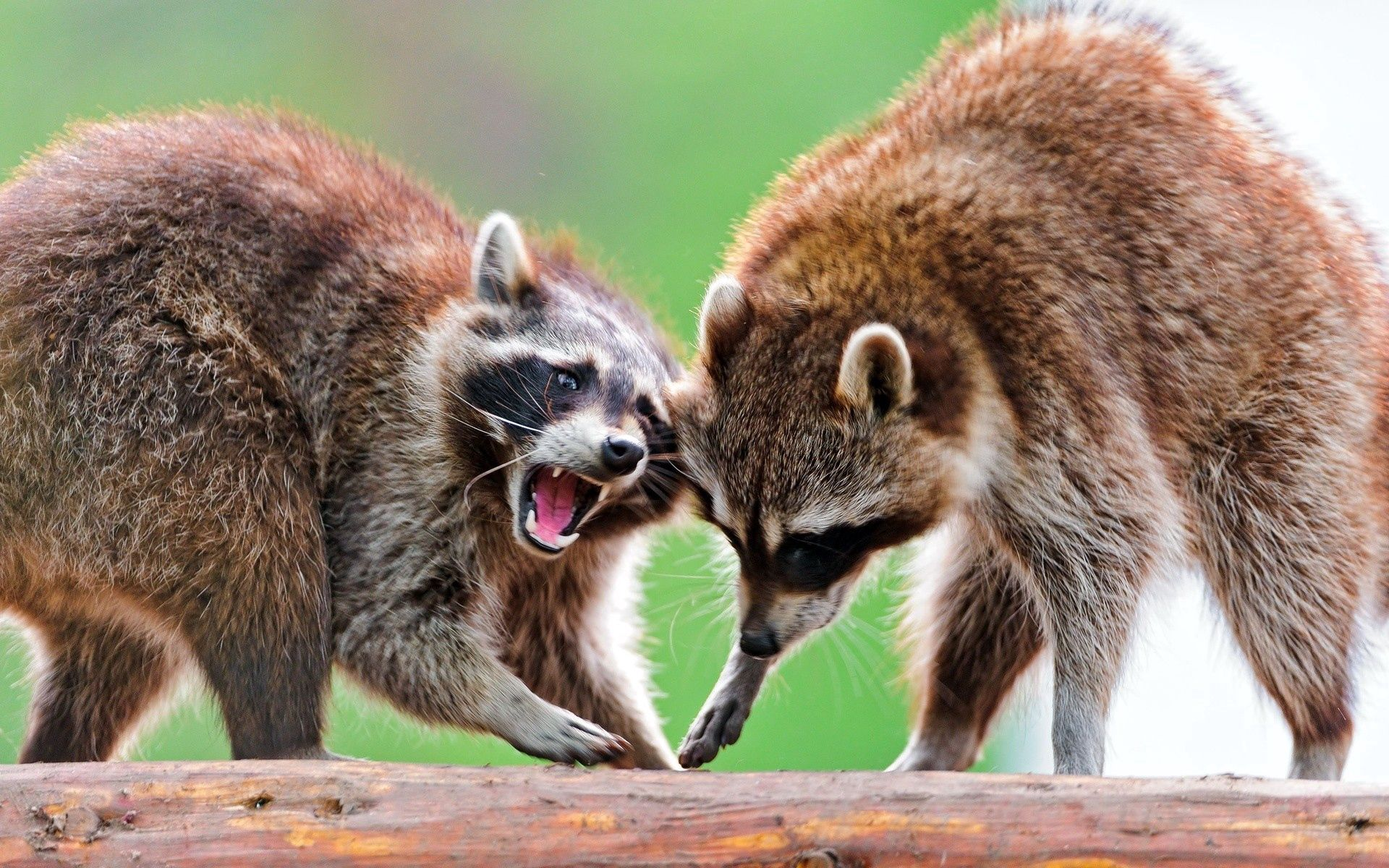 74439 Screensavers and Wallpapers Raccoon for phone. Download Animals, Couple, Pair, Animal, To Stand, Stand, Raccoon pictures for free