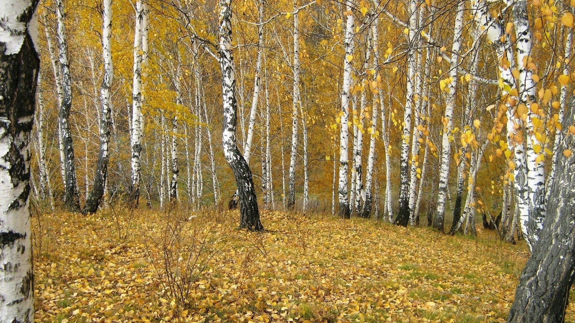 106556 скачать обои Осень, Листопад, Природа, Золото, Березы, Лес, Опушка - заставки и картинки бесплатно