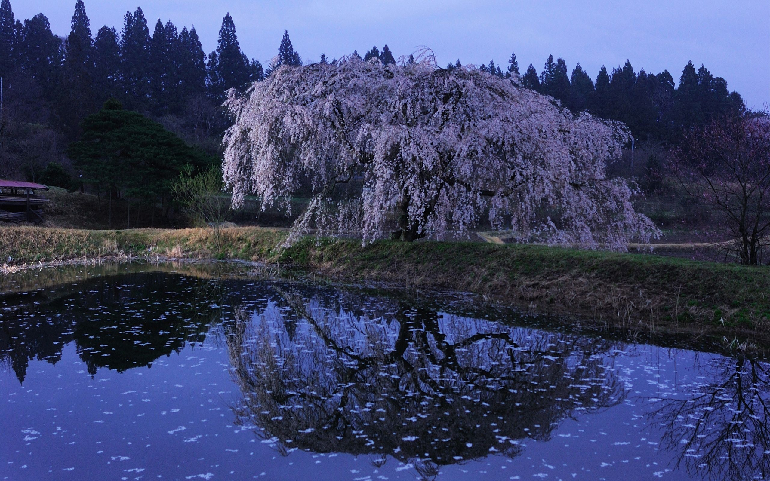 149785 Screensavers and Wallpapers Sakura for phone. Download Nature, Twilight, Sakura, Lake, Shore, Bank, Petals, Surface, Branches, Bloom, Flowering, Branch, Dusk pictures for free