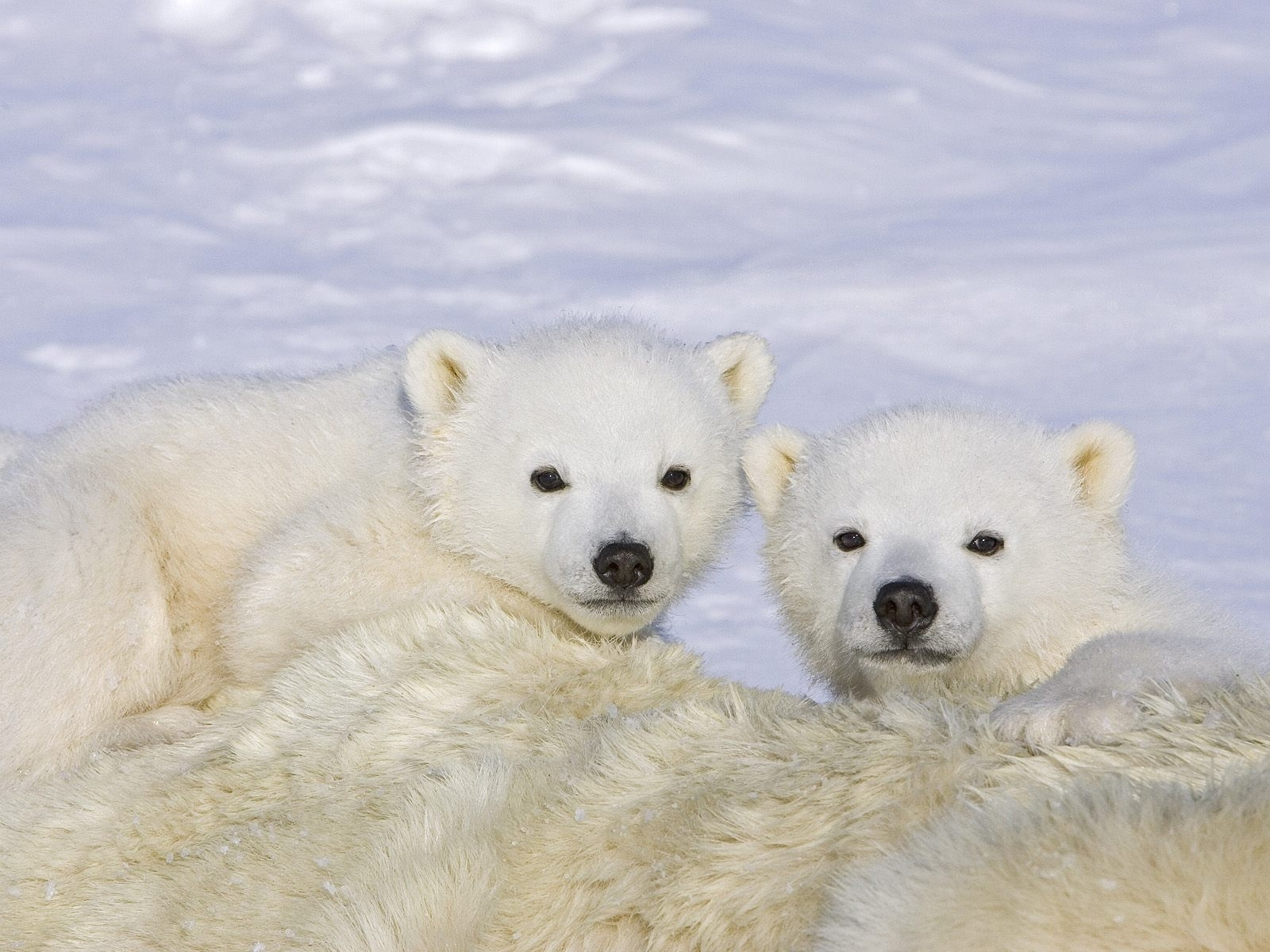 7354 download wallpaper Animals, Winter, Bears screensavers and pictures for free