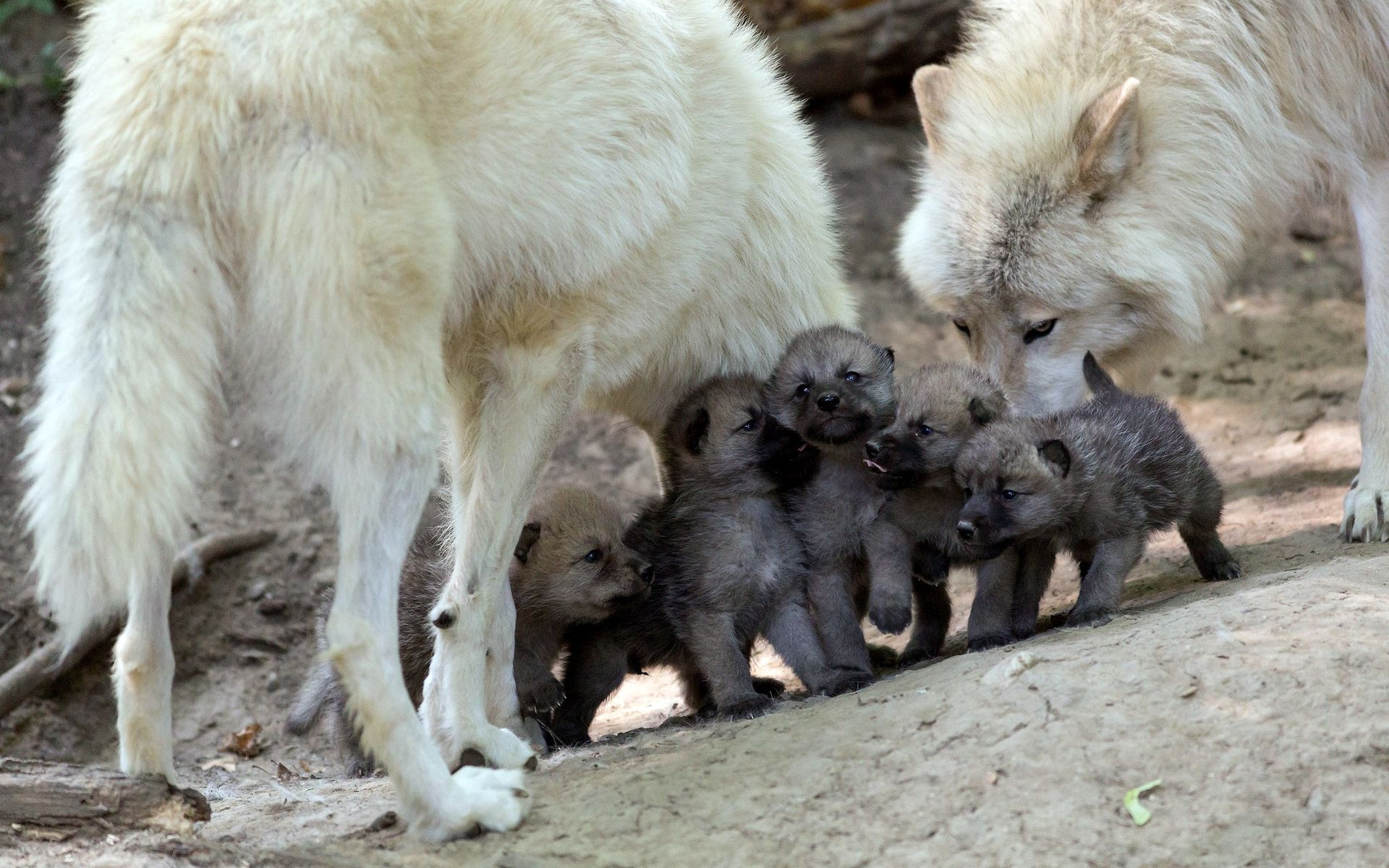 135660 download wallpaper Animals, Wolfs, Puppies, Cubs, Young, Care screensavers and pictures for free
