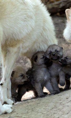 135660 baixar papel de parede Animais, Lobos, Filhotes, Jovem, Cuidado - protetores de tela e imagens gratuitamente