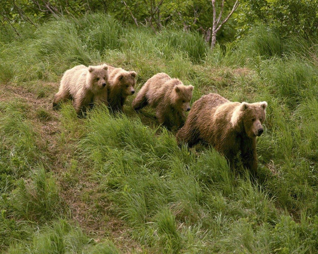 77315 Заставки и Обои Медведи на телефон. Скачать Медведи, Животные, Трава, Прогулка картинки бесплатно