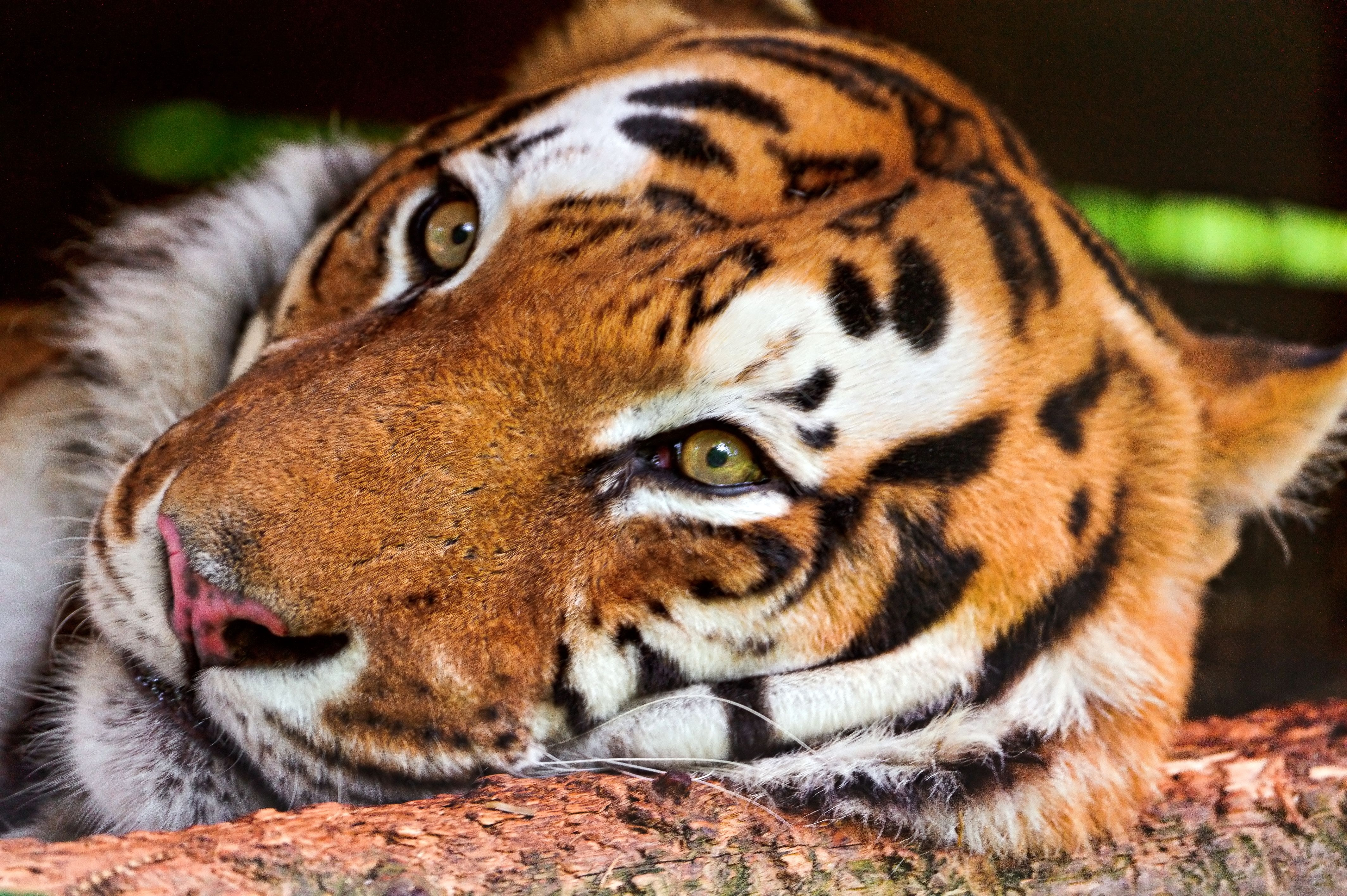 154516 download wallpaper Animals, Tiger, Muzzle, Predator, Big Cat screensavers and pictures for free