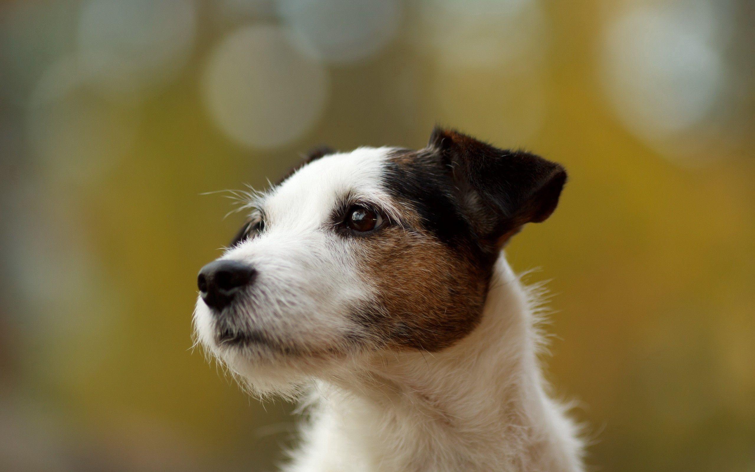 67086 скачать обои Животные, Собака, Блики, Морда, Пятнистый, Фон - заставки и картинки бесплатно