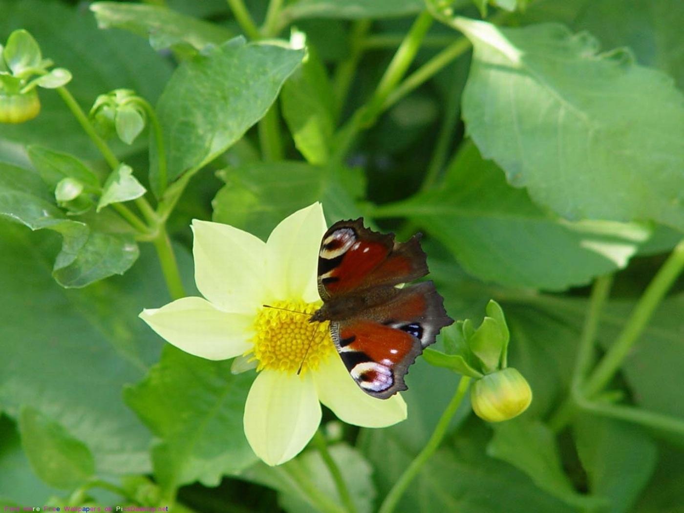 42403 descargar fondo de pantalla Mariposas, Insectos: protectores de pantalla e imágenes gratis