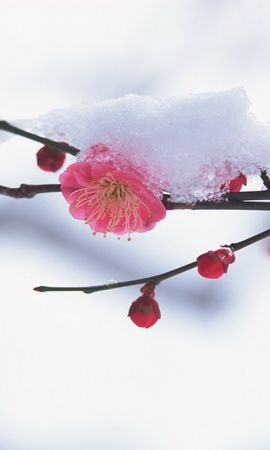 563 скачать обои Растения, Зима, Цветы, Снег - заставки и картинки бесплатно