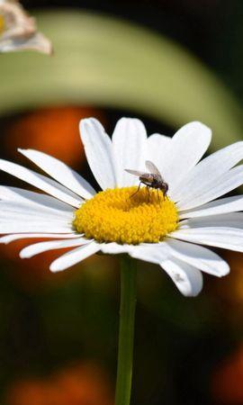 63423 Salvapantallas y fondos de pantalla Insectos en tu teléfono. Descarga imágenes de Macro, Camomila, Insectos, Moscas gratis