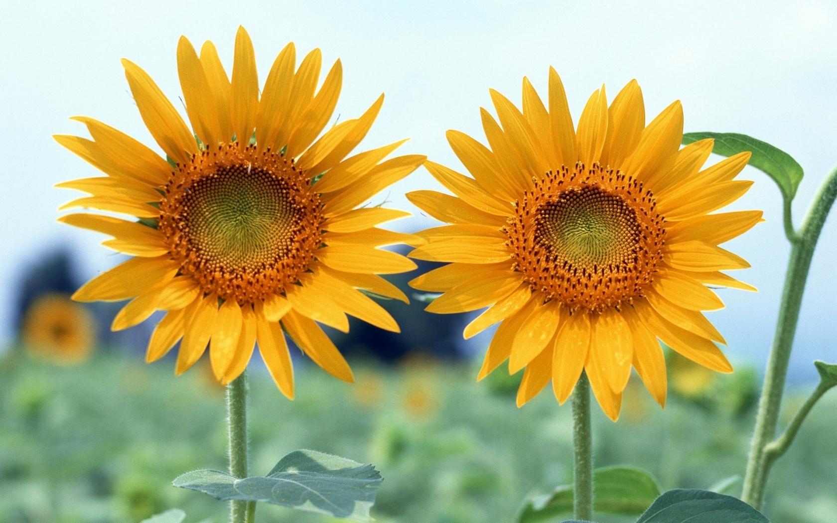 45863 скачать обои Растения, Подсолнухи - заставки и картинки бесплатно