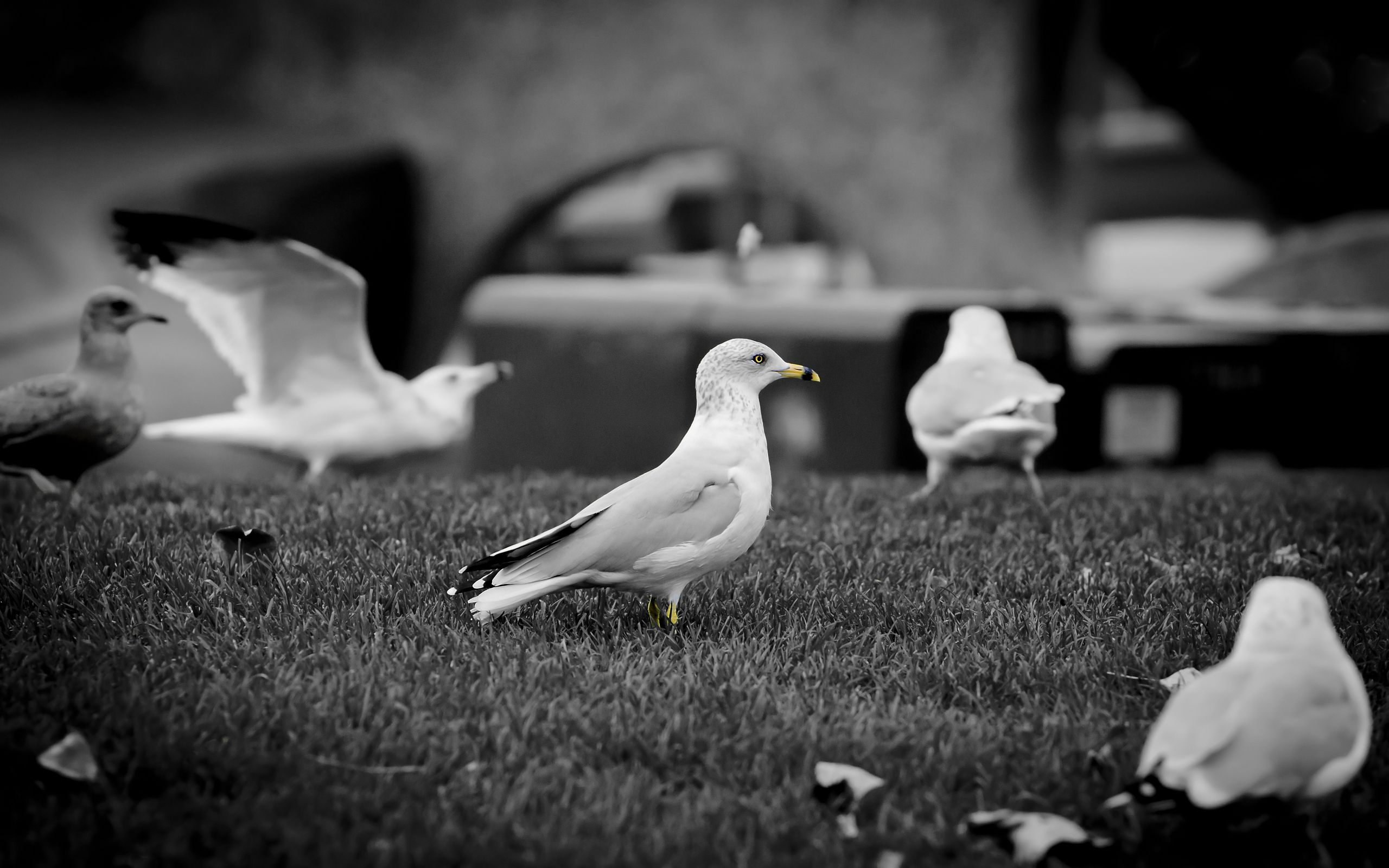 116160 download wallpaper Animals, Gull, Seagull, Grass, Flock, Birds screensavers and pictures for free