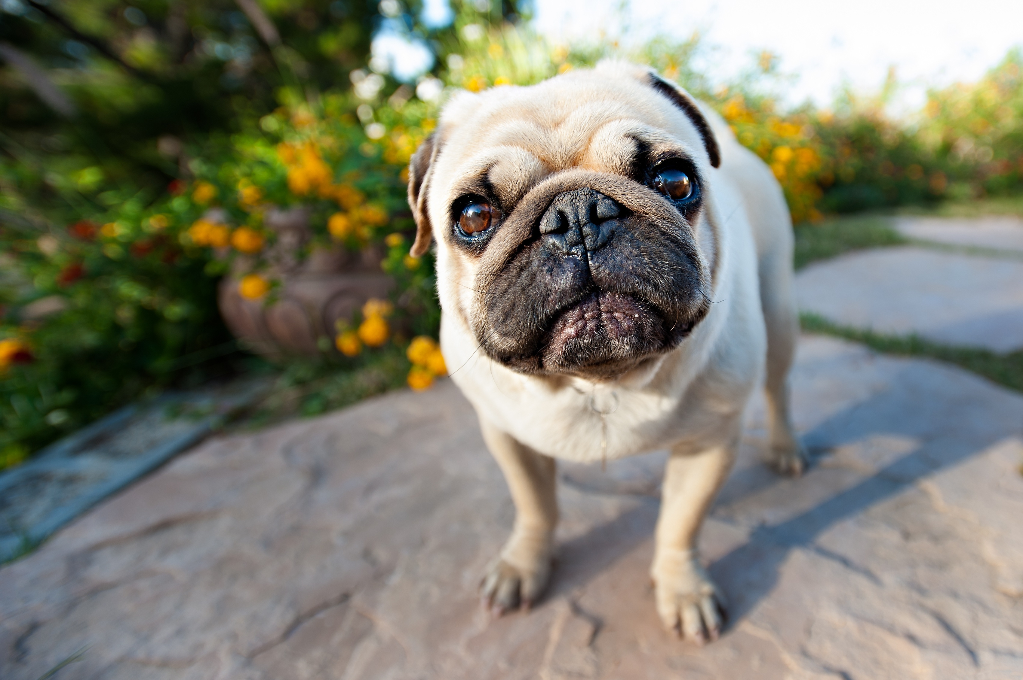 91832 download wallpaper Animals, Pug, Muzzle, Puppy screensavers and pictures for free