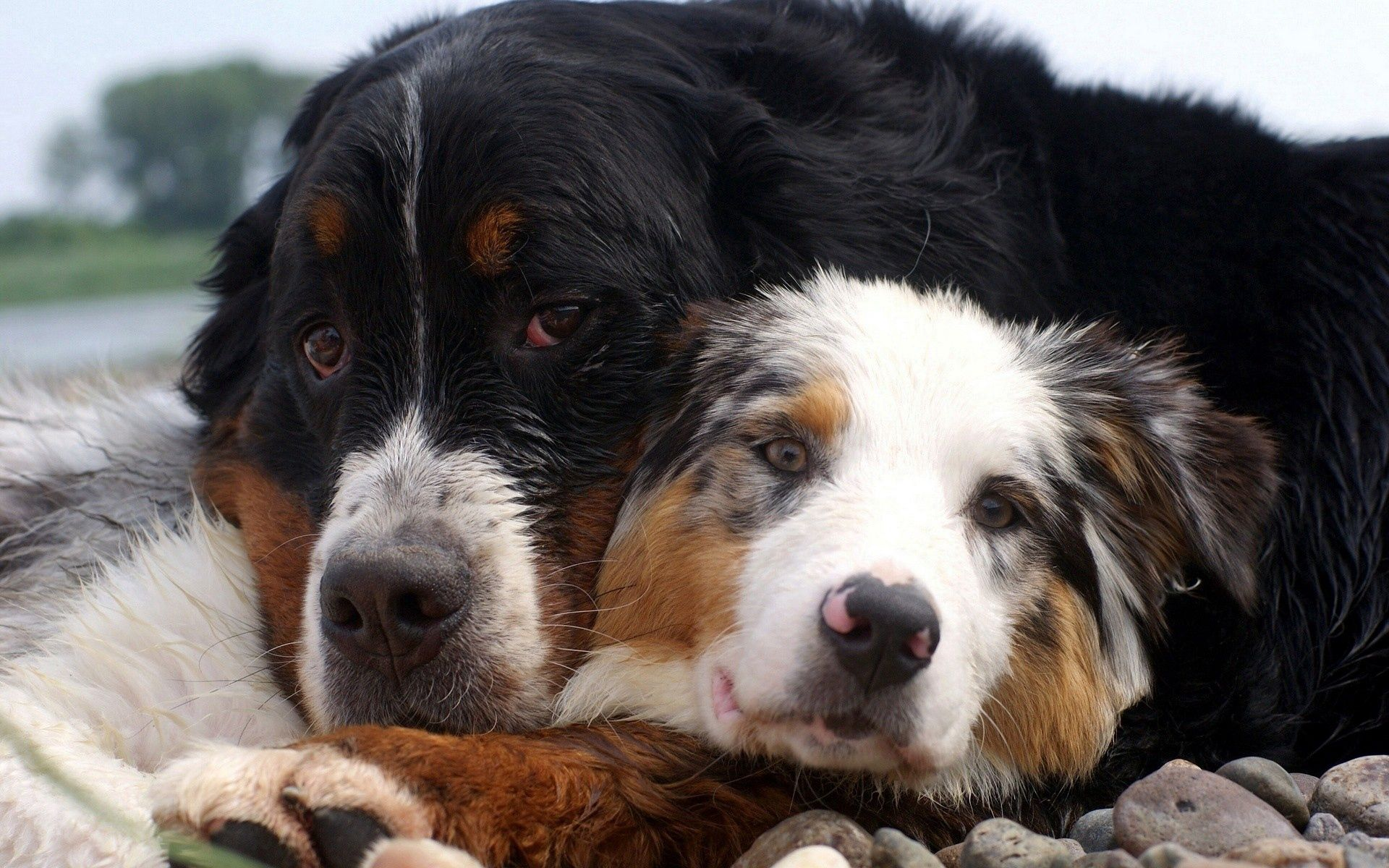 106753 download wallpaper Animals, Dogs, Couple, Pair, Embrace, Australian Shepherd screensavers and pictures for free