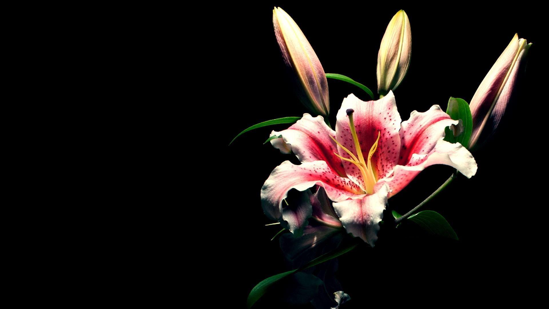 113633 Hintergrundbild herunterladen Schwarzer Hintergrund, Blumen, Blume, Knospen, Lilie, Lily - Bildschirmschoner und Bilder kostenlos