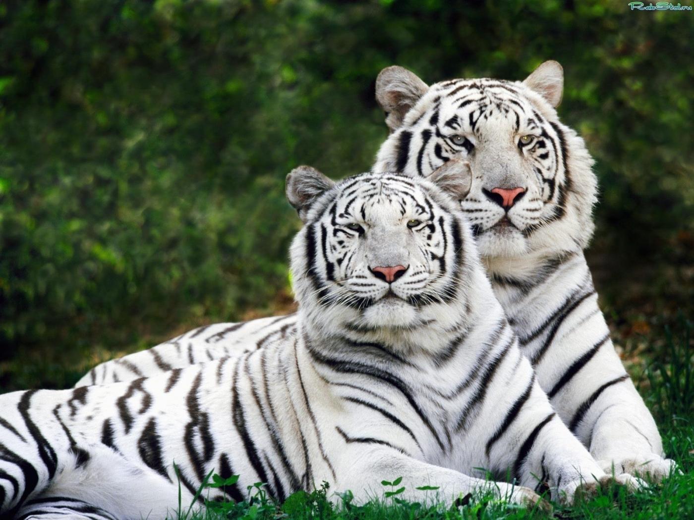 27305 descargar fondo de pantalla Animales, Tigres: protectores de pantalla e imágenes gratis