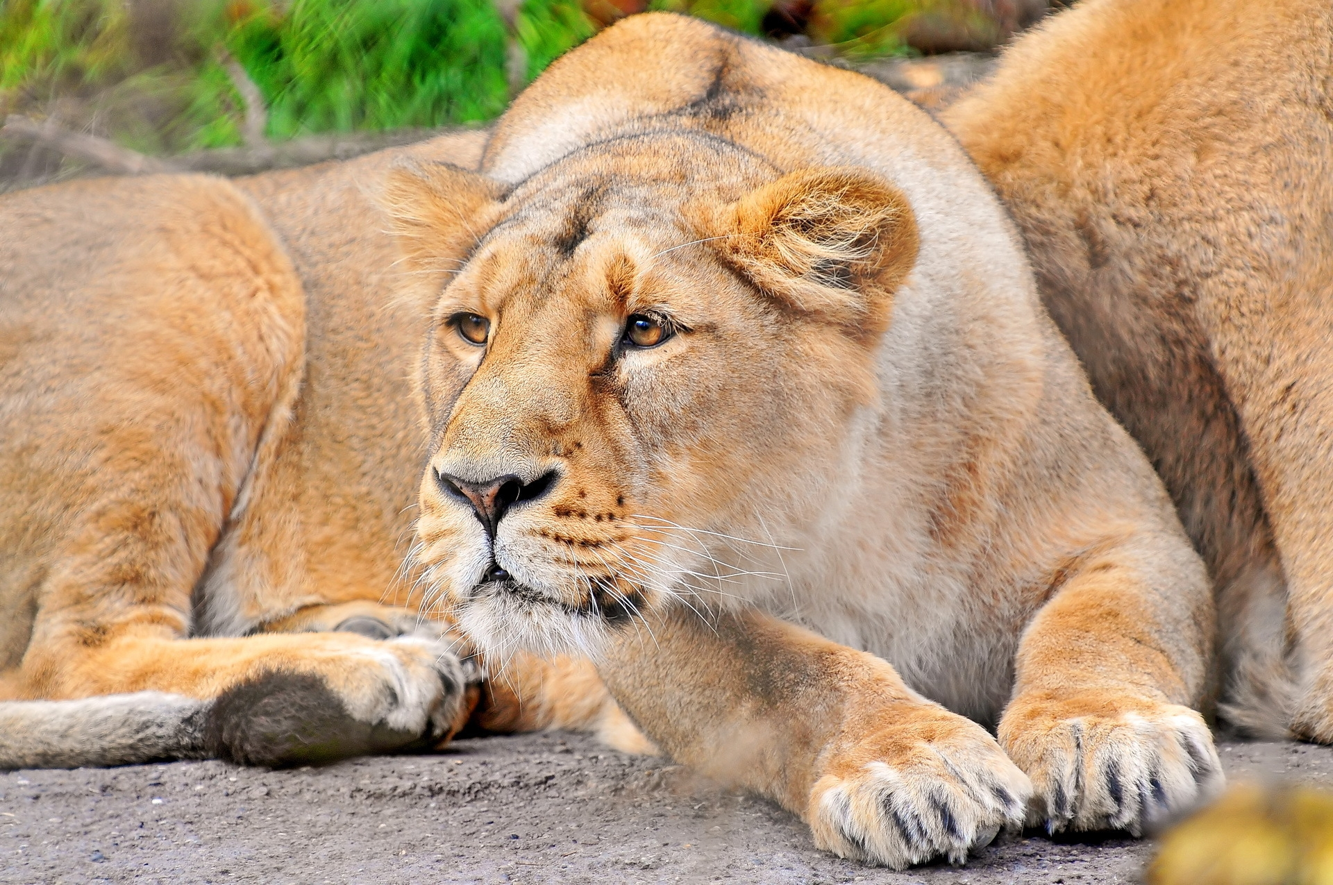 70437 download wallpaper Animals, Lion, Muzzle, Lioness, Predator screensavers and pictures for free