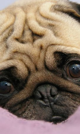 91062 download wallpaper Animals, Pug, Puppy, Muzzle, Sight, Opinion, To Lie Down, Lie screensavers and pictures for free