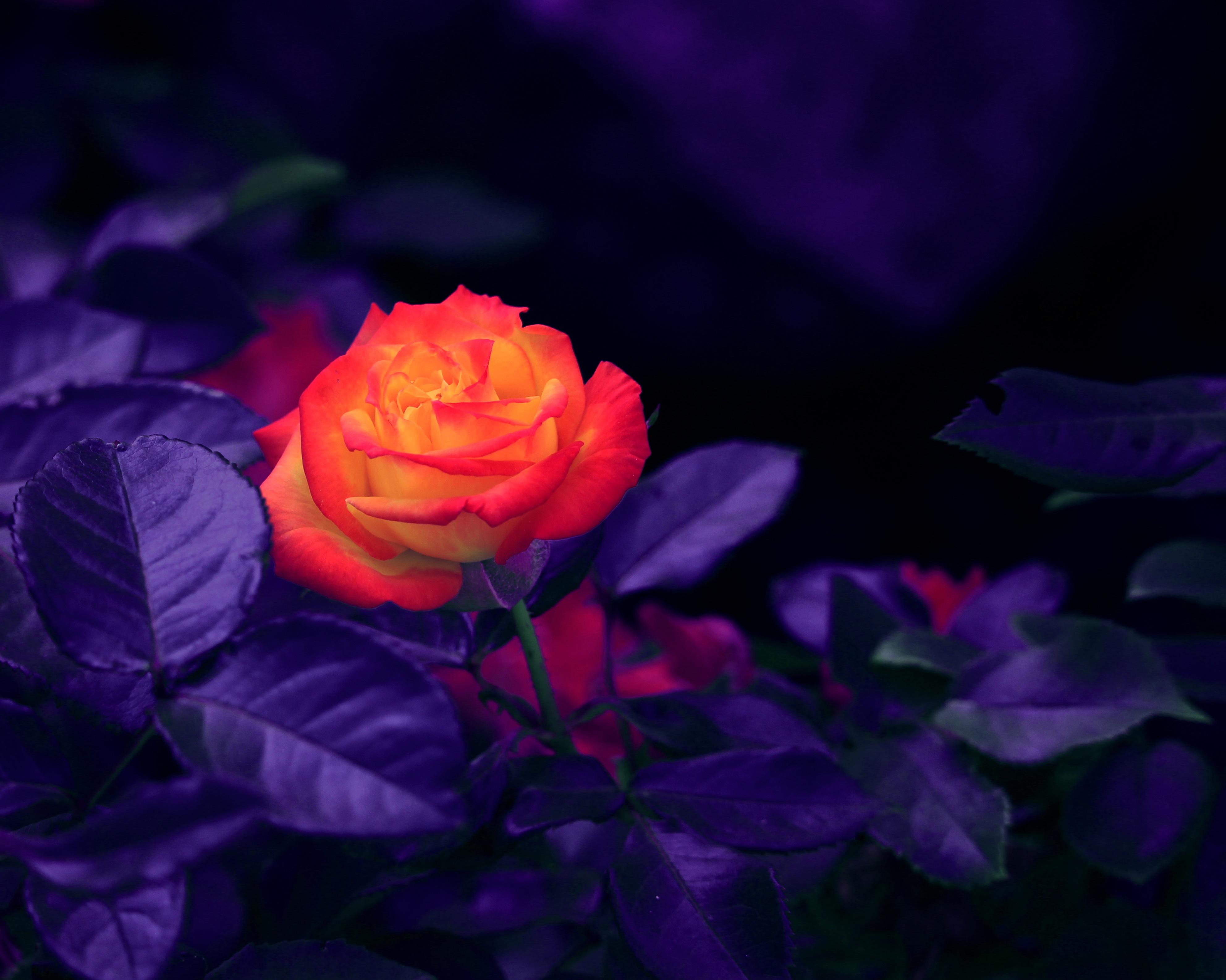 146553 Hintergrundbild herunterladen Blumen, Rose, Knospe, Bud, Lila - Bildschirmschoner und Bilder kostenlos