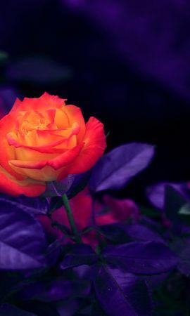 146553 baixe gratuitamente papéis de parede de Laranja para seu telefone, Flores, Flor Rosa, Rosa, Bud, Botão, Roxo, Violeta imagens e protetores de tela de Laranja para seu celular