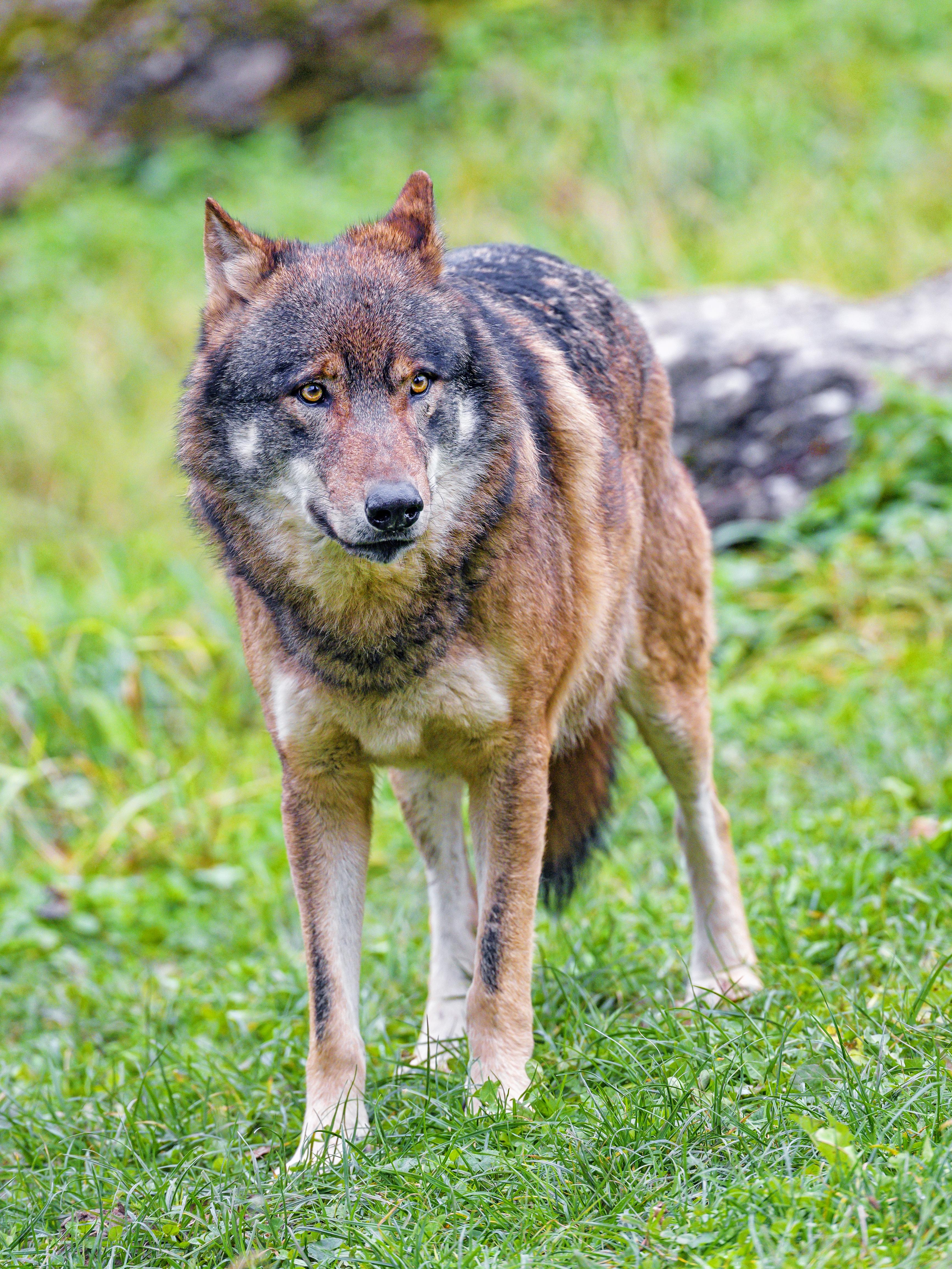 95422 скачать обои Животные, Волк, Хищник, Коричневый, Животное, Дикая Природа - заставки и картинки бесплатно