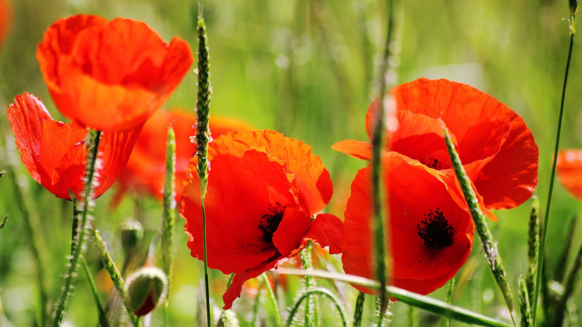 154968 скачать обои Цветы, Маки, Лепестки, Красный, Стебель - заставки и картинки бесплатно