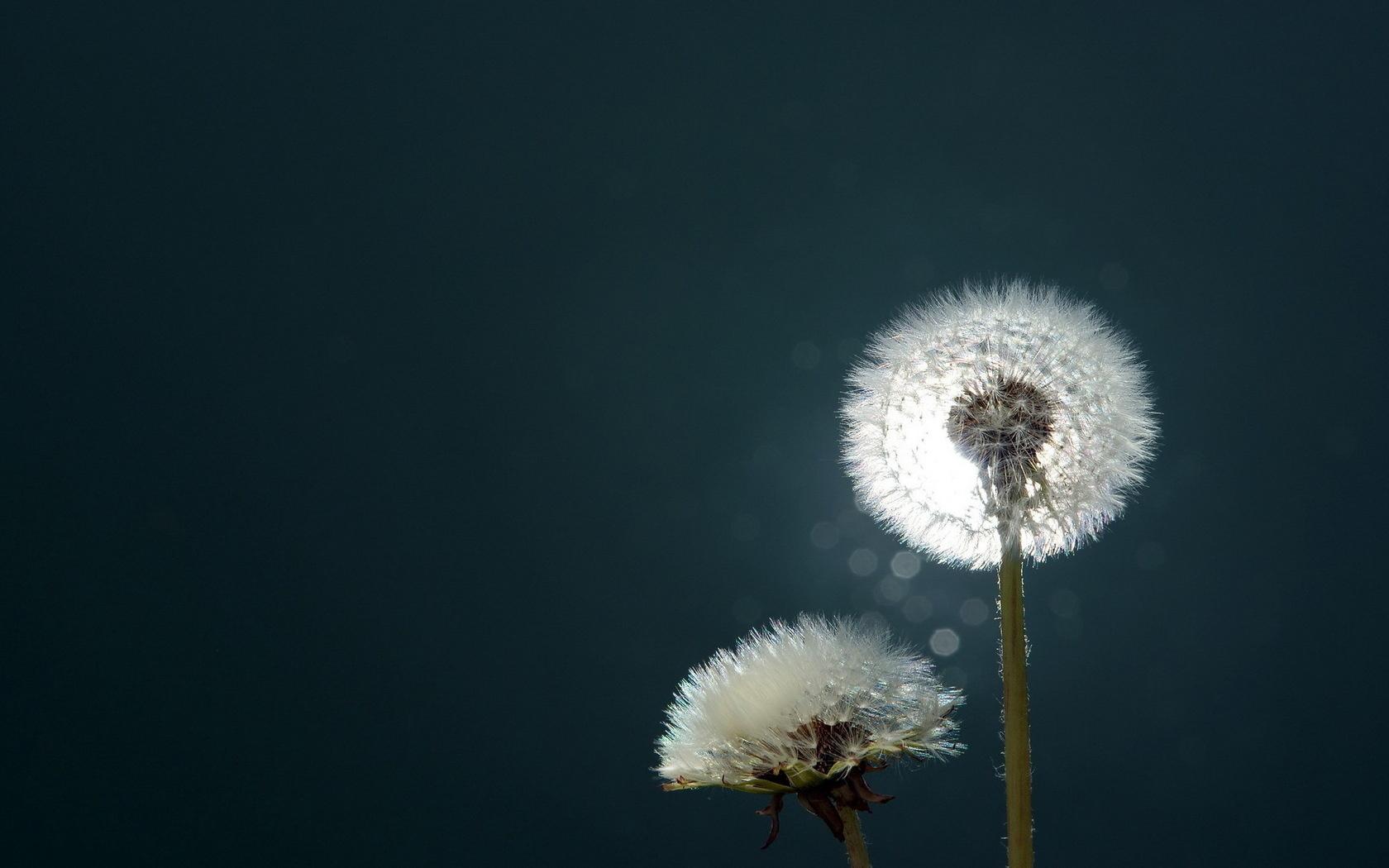 33960 скачать обои Одуванчики, Растения, Цветы - заставки и картинки бесплатно