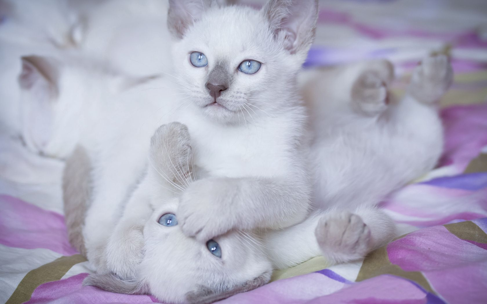 134280 download wallpaper Animals, Kittens, Blue Eyed, Blue-Eyed, Couple, Pair, Playful screensavers and pictures for free