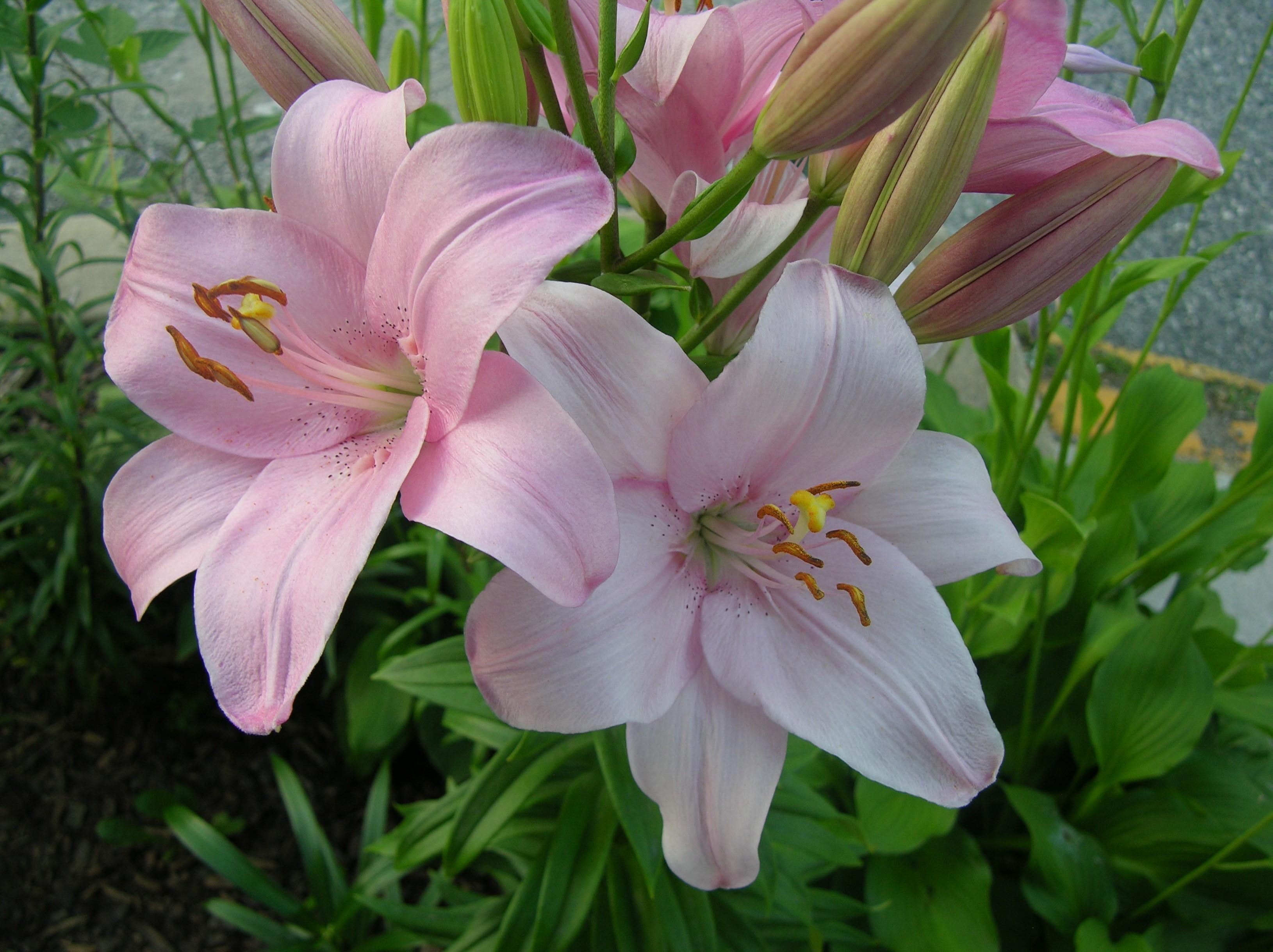 136909 télécharger le fond d'écran Fleurs, Lilies, Parterre De Fleurs, Parterre, Légumes Verts, Verdure - économiseurs d'écran et images gratuitement