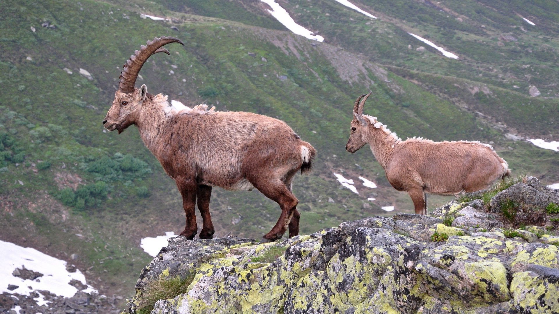 106299 download wallpaper Animals, Break, Precipice, Stones, Horns, Mountain Goats, Mountains screensavers and pictures for free