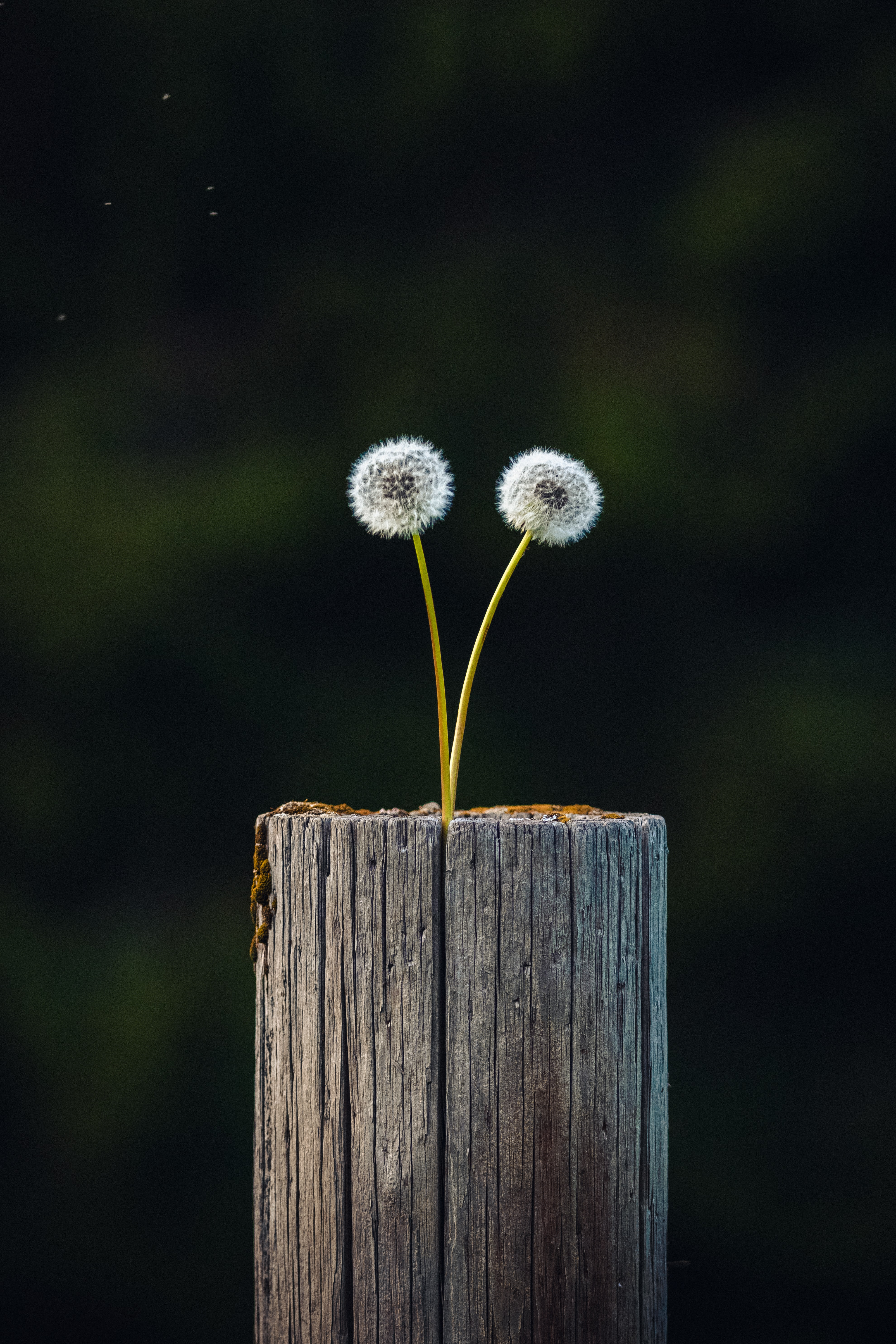 133449 download wallpaper Nature, Dandelions, Plant, Wood, Wooden, Focus, Log screensavers and pictures for free