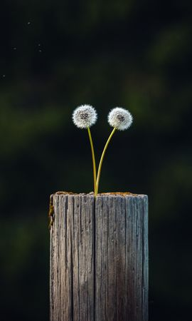 133449 скачать обои Природа, Одуванчики, Растение, Бревно, Деревянный, Фокус - заставки и картинки бесплатно