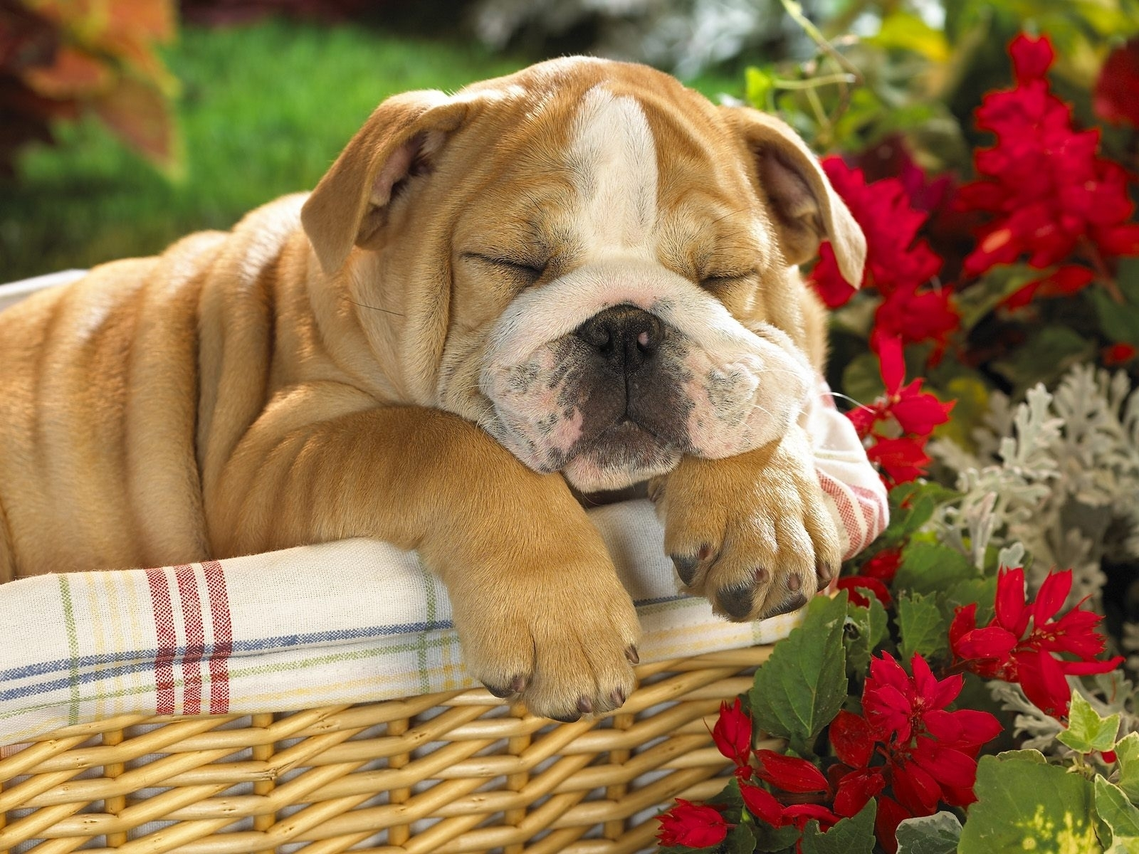 4951 download wallpaper Animals, Dogs screensavers and pictures for free