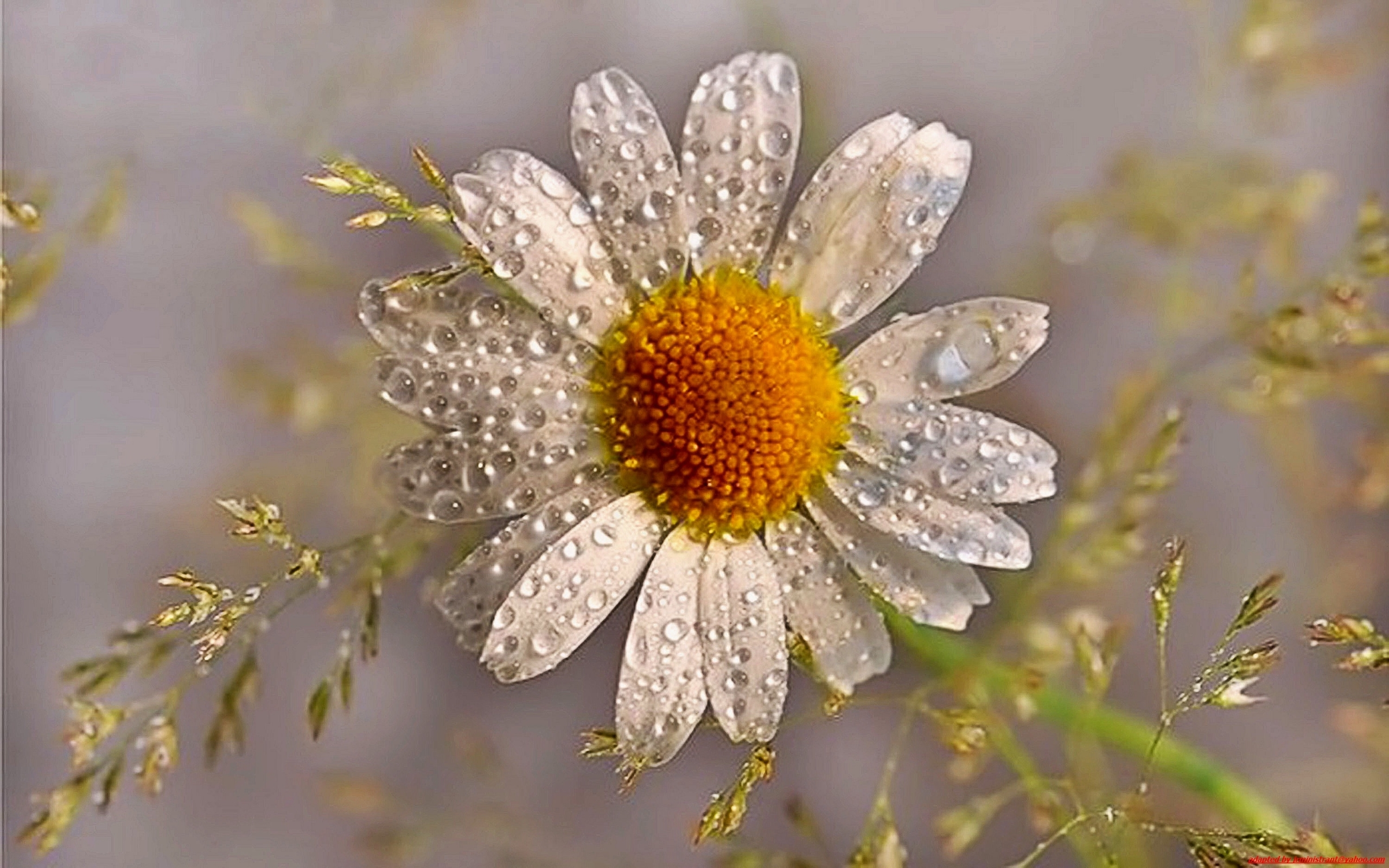 28359 download wallpaper Plants, Flowers, Camomile, Drops screensavers and pictures for free