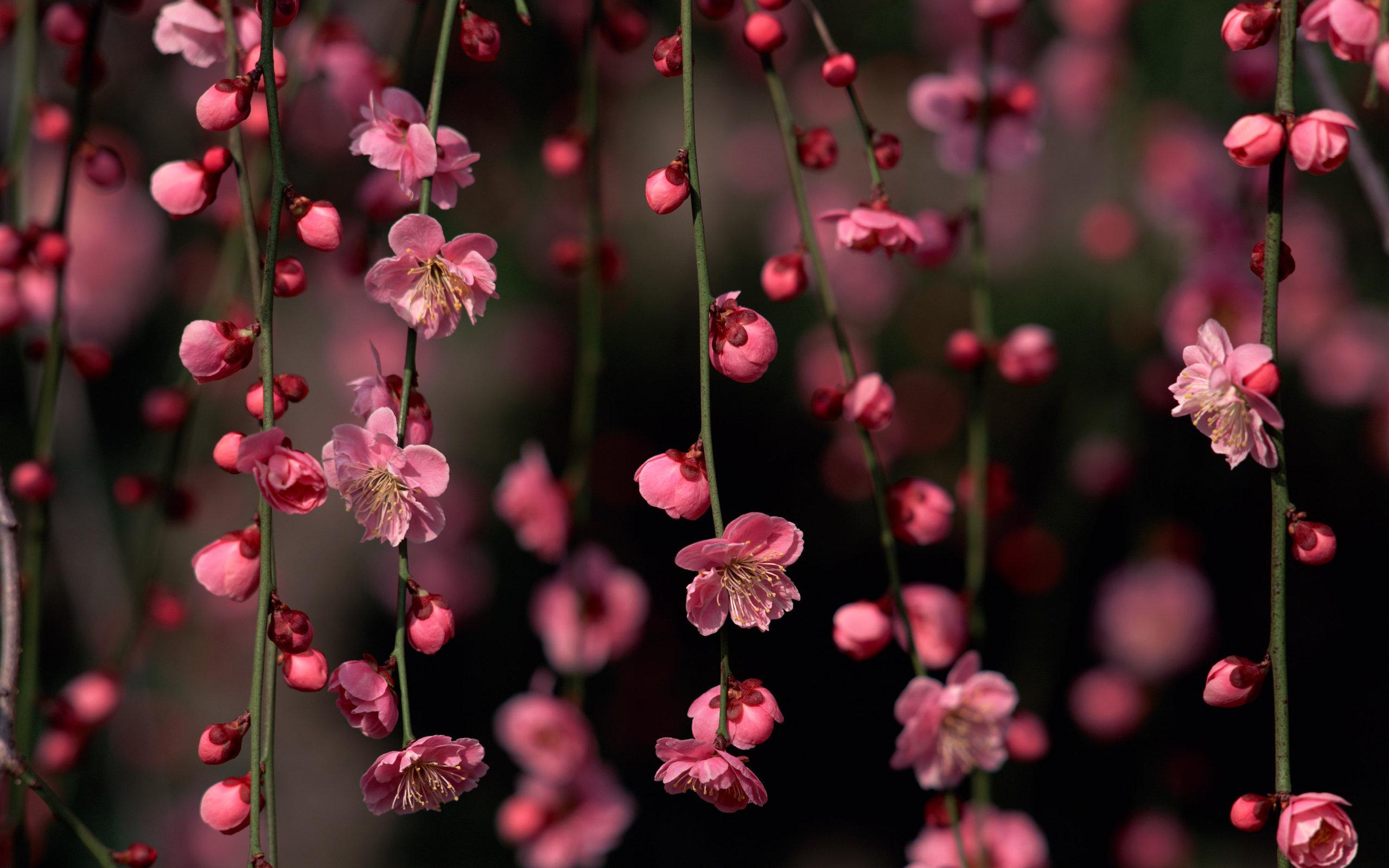 21662 Заставки и Обои Сакура на телефон. Скачать Сакура, Растения, Цветы, Деревья картинки бесплатно