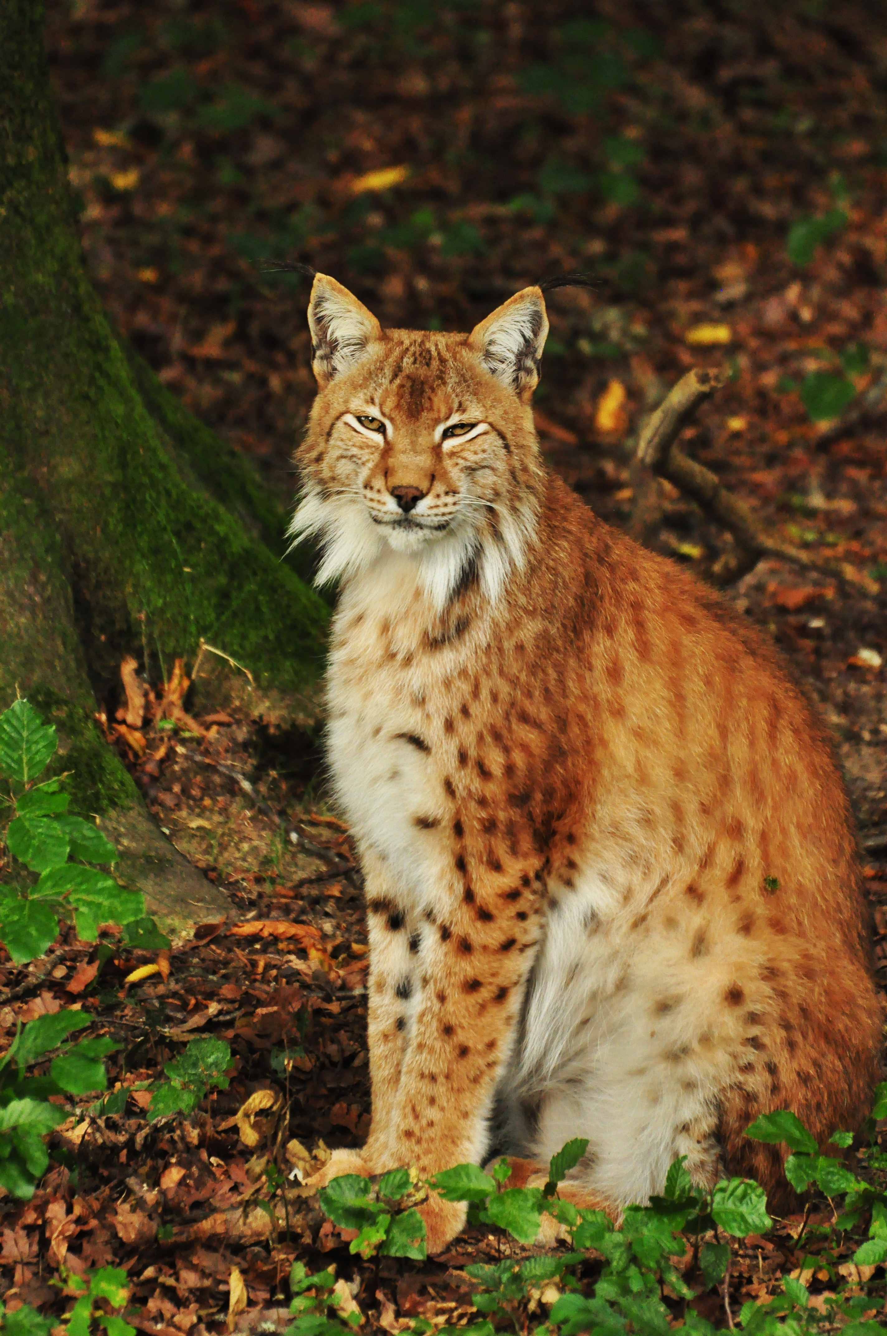 97687 download wallpaper Animals, Iris, Forest, Predator, Animal screensavers and pictures for free