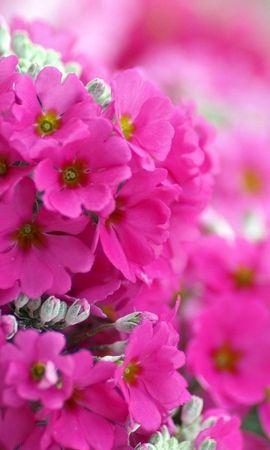 45988 descargar fondo de pantalla Plantas, Flores, Violeta: protectores de pantalla e imágenes gratis