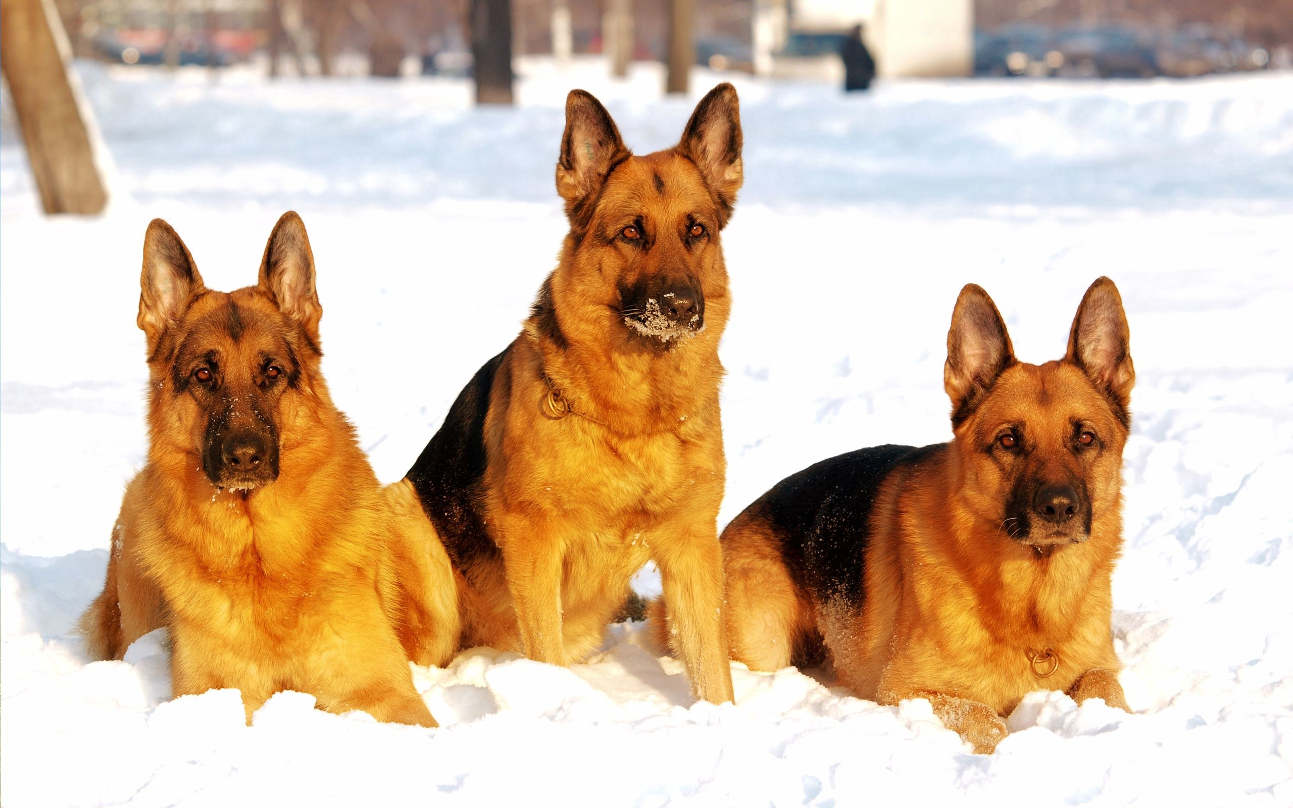 58200 download wallpaper Animals, Dogs, Shepherds, Snow screensavers and pictures for free