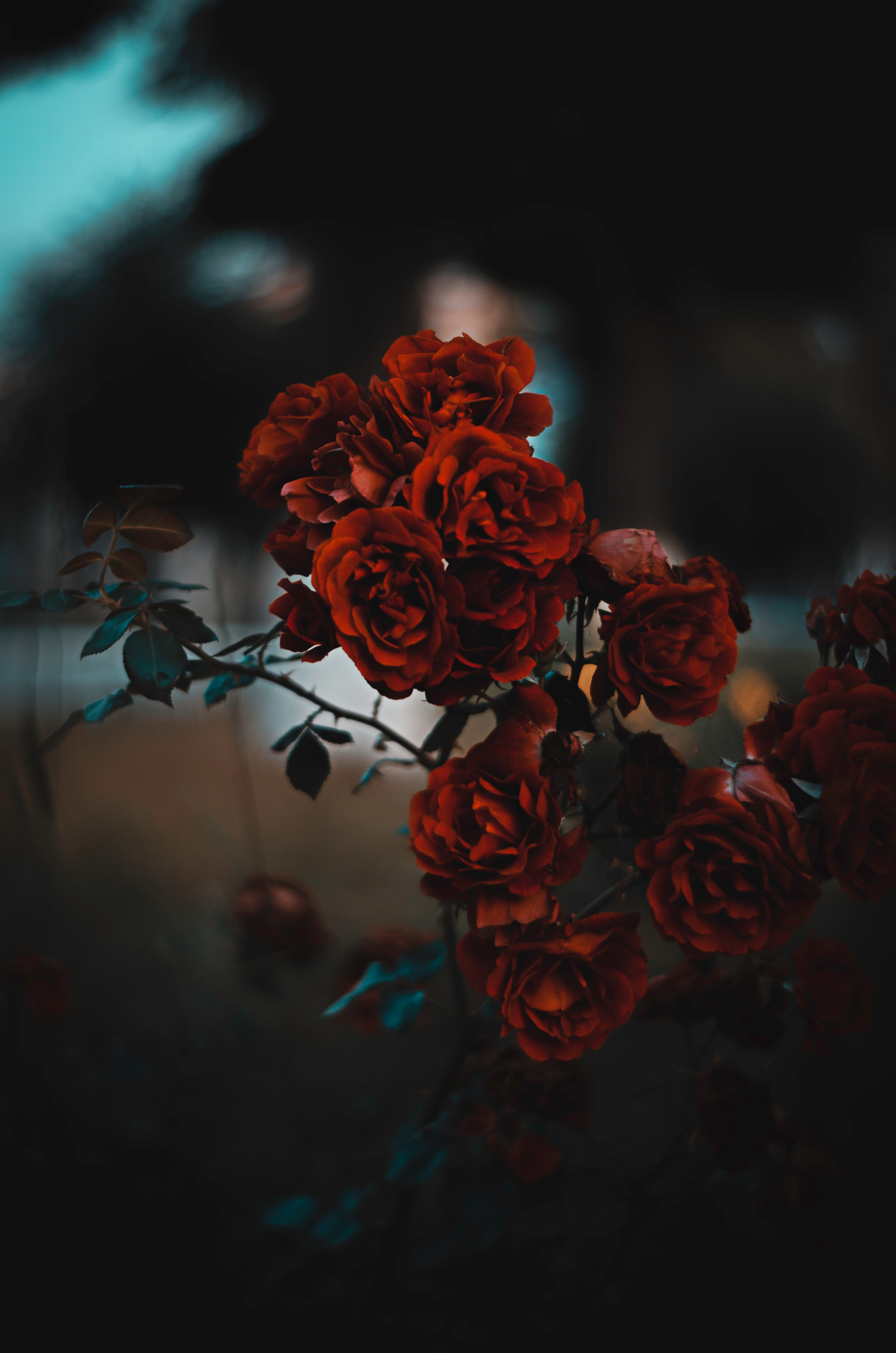 119725 download wallpaper Flowers, Bush, Blur, Smooth, Scarlet, Roses screensavers and pictures for free