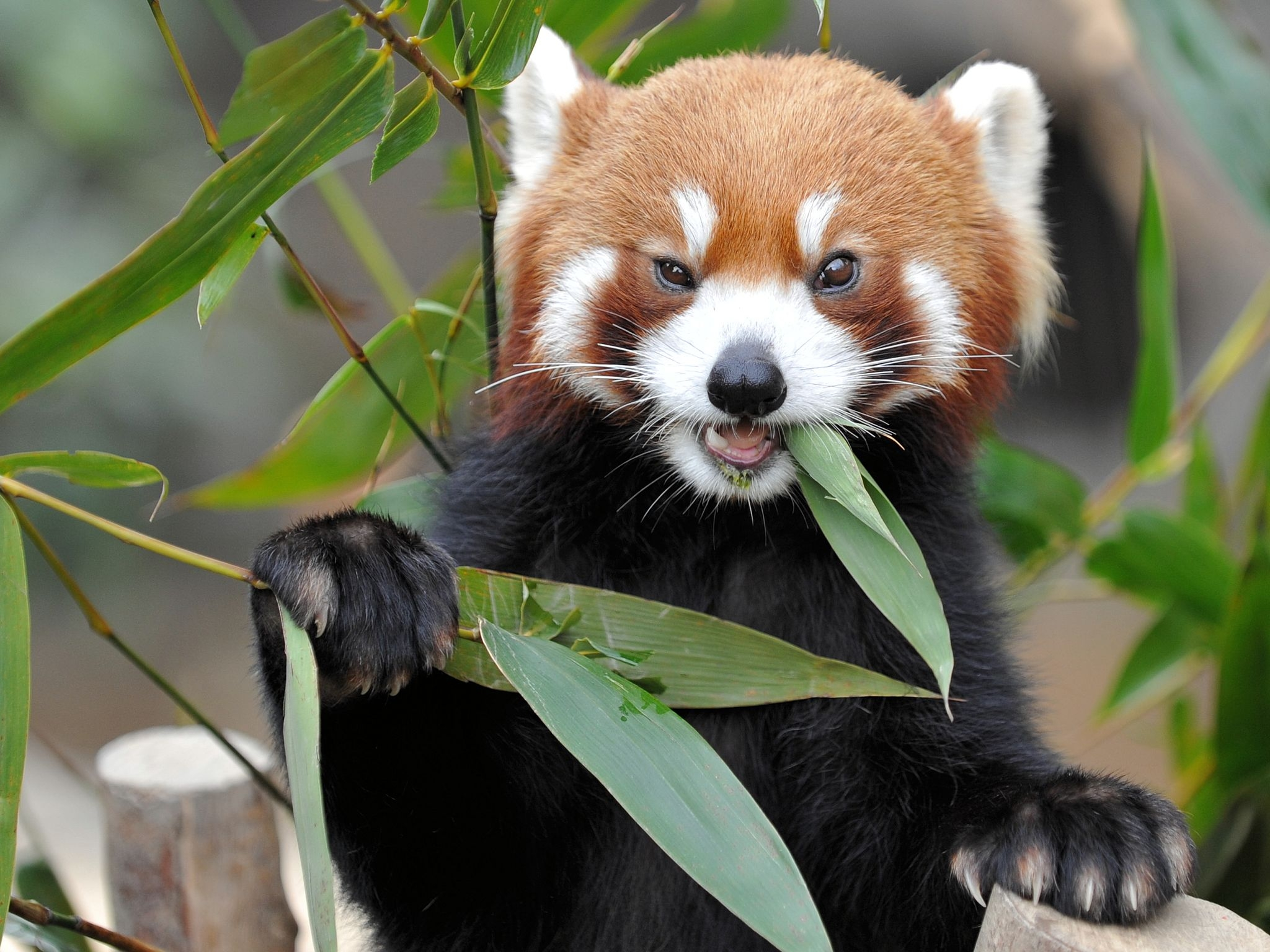 61734 download wallpaper Animals, Fox, Fiery, Grass, Eat, Panda screensavers and pictures for free